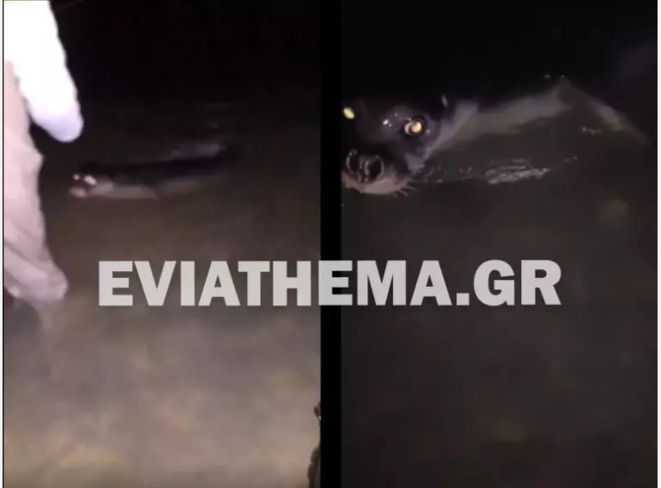 Εύβοια: Μικρή φώκια απολάμβανε τα νερά της Νέας Αρτάκης και των Πολιτικών