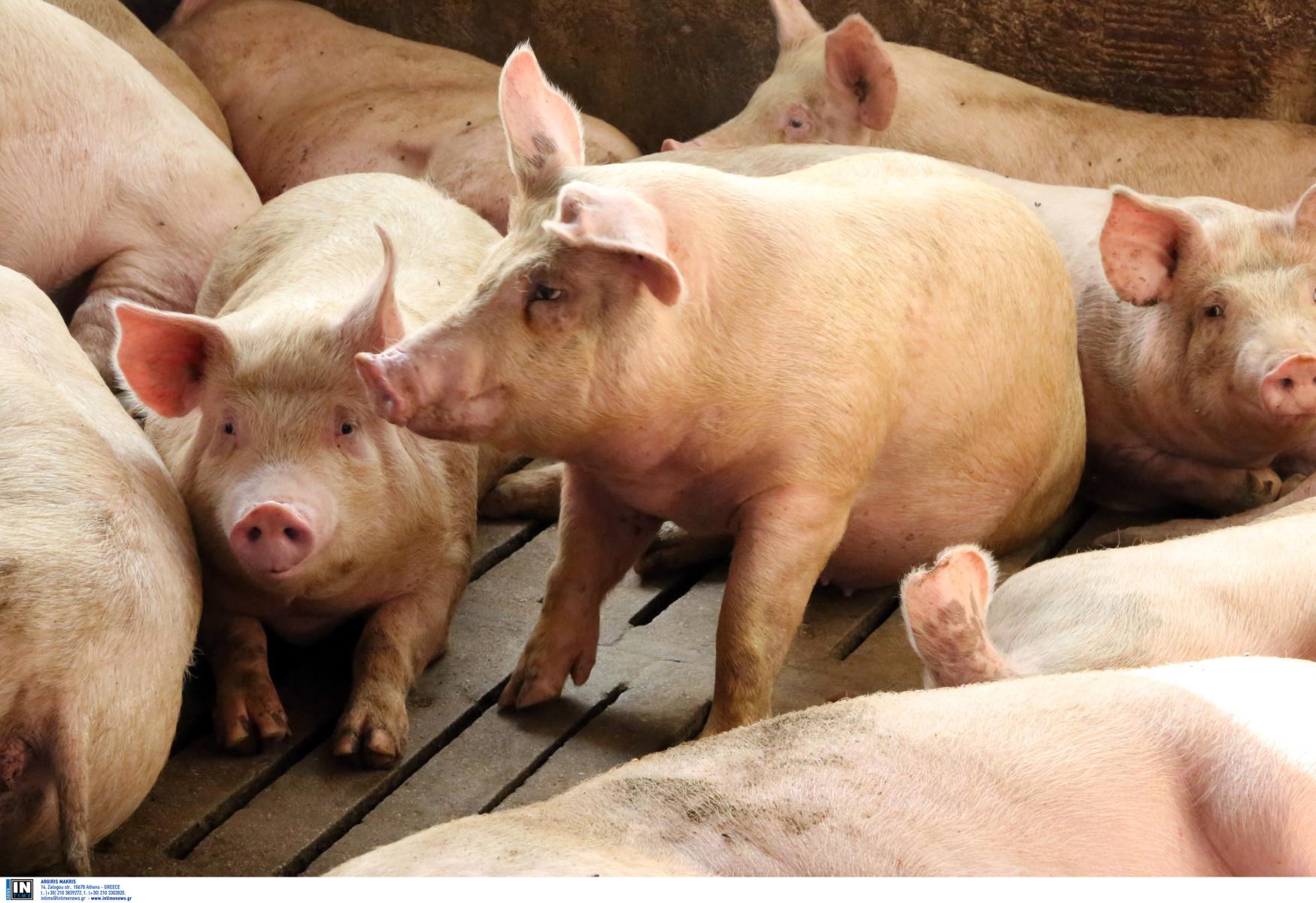 Ζίτσα Ιωαννίνων: Έξαλλοι οι κάτοικοι – «Κάποιος αφήνει νεκρά γουρούνια έξω από τα σπίτια μας»
