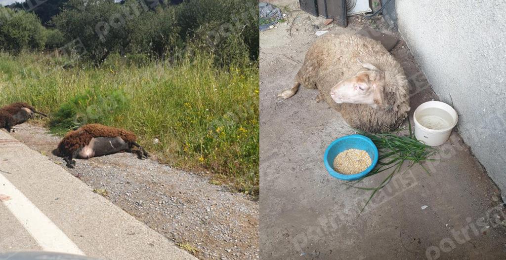 Ηλεία: Αυτοκίνητο «θέρισε» τα πρόβατα του κτηνοτρόφου σε τροχαίο – Σκληρές εικόνες μετά το ατύχημα