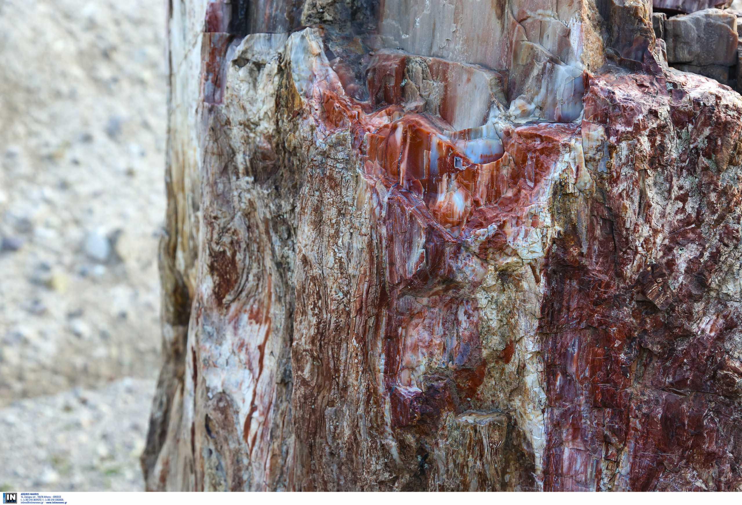 Μυτιλήνη: Νέα απολιθωμένα δέντρα –  Πρωτοπευκίδες, κανελόδενδρα, δαφνίδες και βελανιδιές (pics)