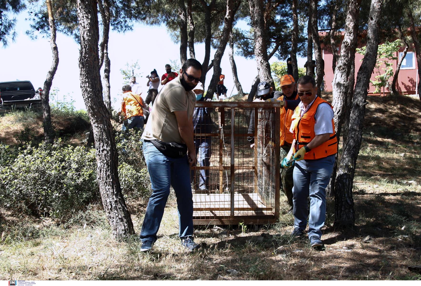 Κωδικός αγριογούρουνο στη Θεσσαλονίκη: Ιχνηλάτες, καλαμπόκι και ασύρματη κάμερα (pics)