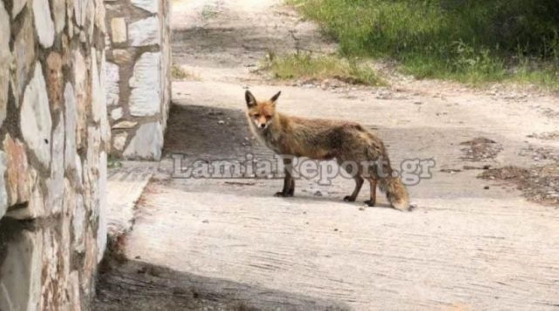 Φθιώτιδα: Τους επισκέπτεται καθημερινά μια αλεπού (video)