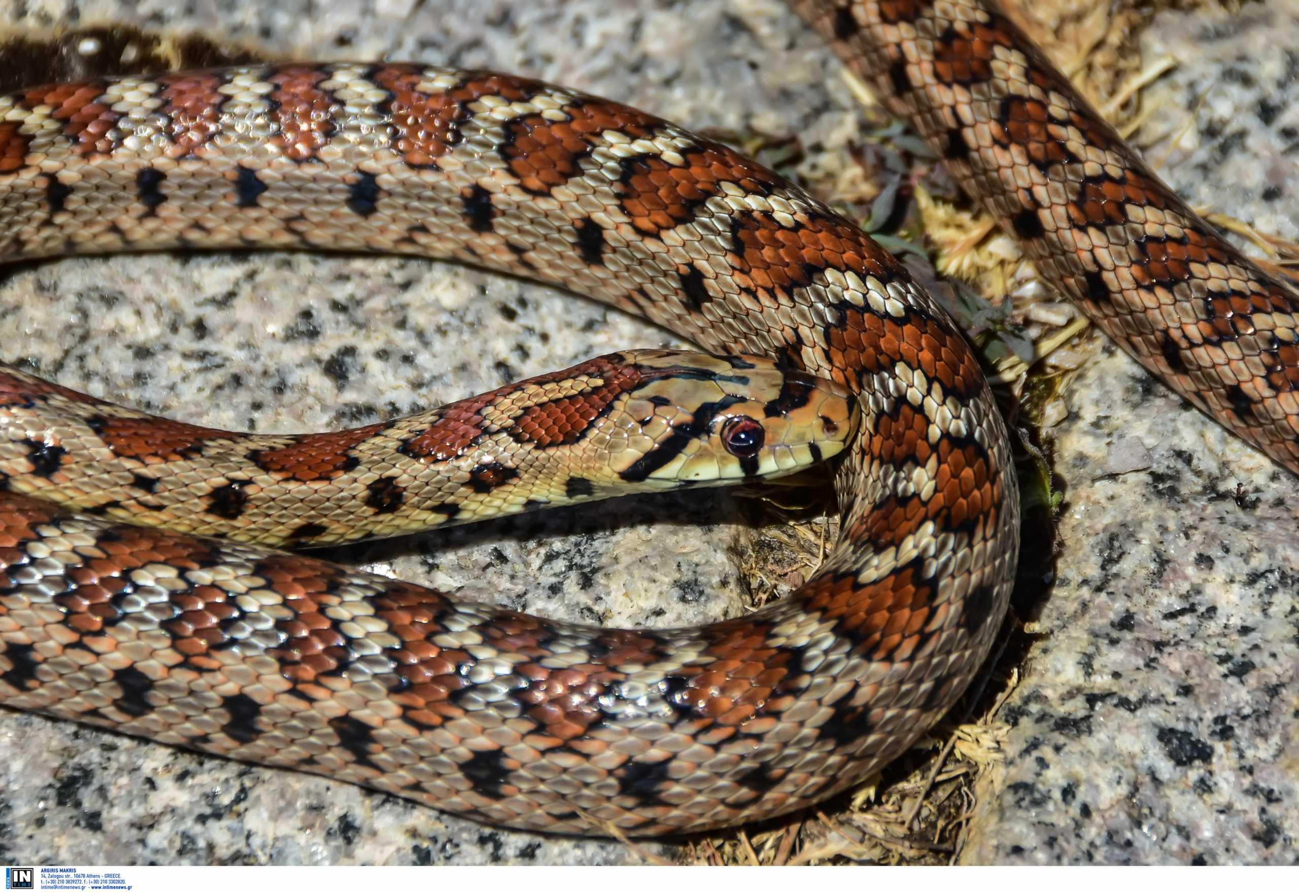 Βόλος: Το φίδι που τους «έκοψε το αίμα» – Άδειασε το σημείο που έκοβε βόλτες (pics)