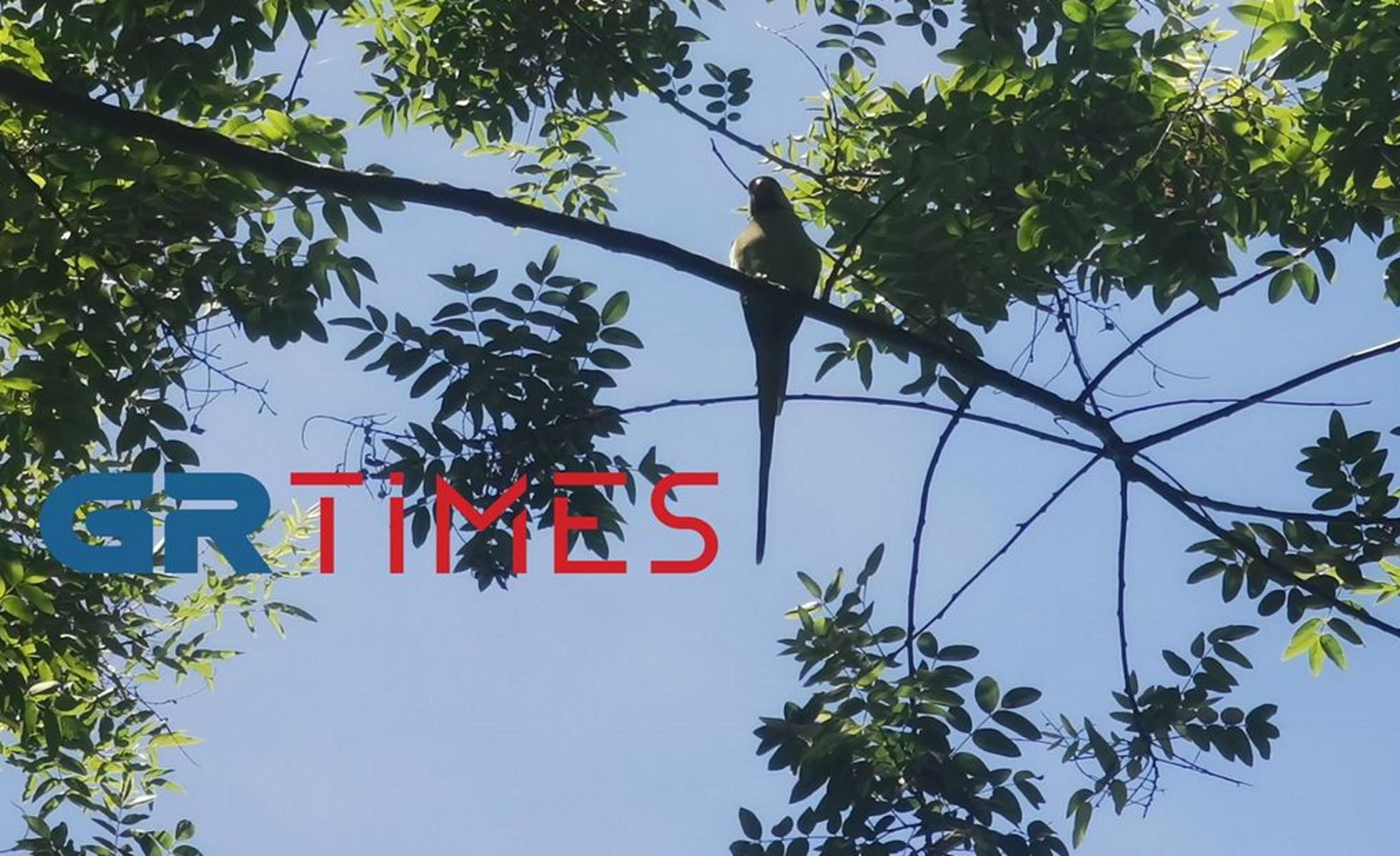 Πράσινοι εξωτικοί παπαγάλοι στη Θεσσαλονίκη – Εικόνες των πτηνών που εντυπωσιάζουν (pics, vid)