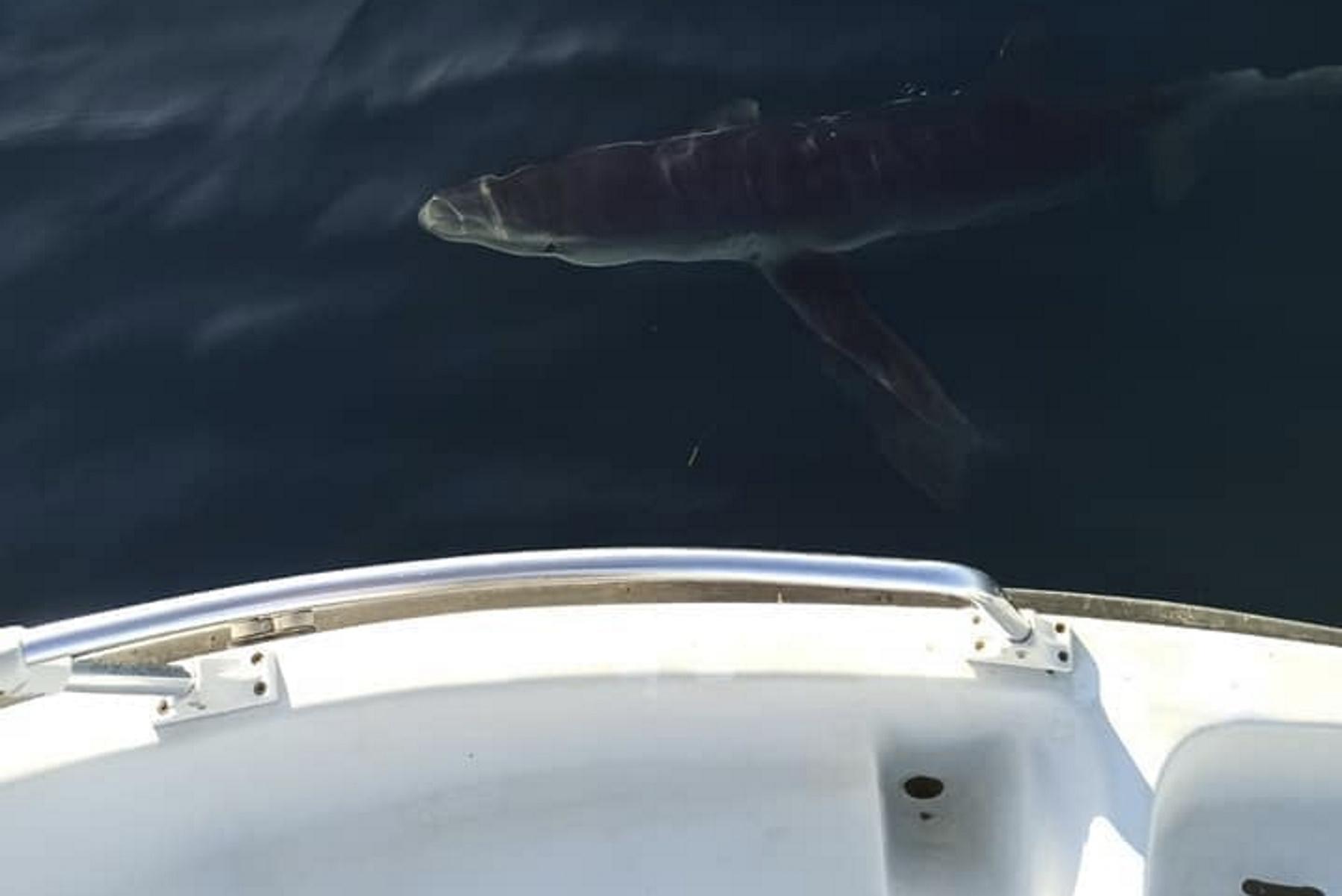 Καρχαρίες κόβουν βόλτες γύρω από ψαράδες στην Αμάρυνθο και την Κινέτα – Δείτε φωτογραφίες