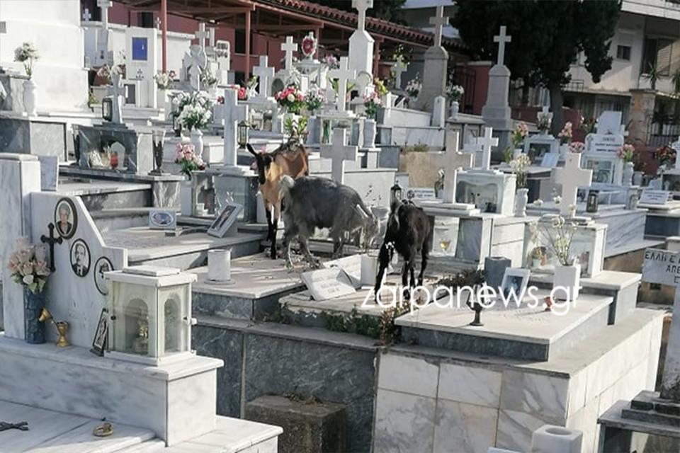 Κρήτη: Κατσίκια τρύπωσαν στο νεκροταφείο και έφαγαν τα λουλούδια από τα μνήματα (pics)