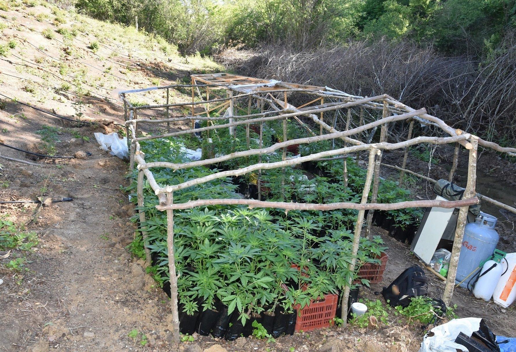 Κιλκίς: Εντοπίστηκε φυτεία με πάνω από 1.400 δενδρύλλια χασίς