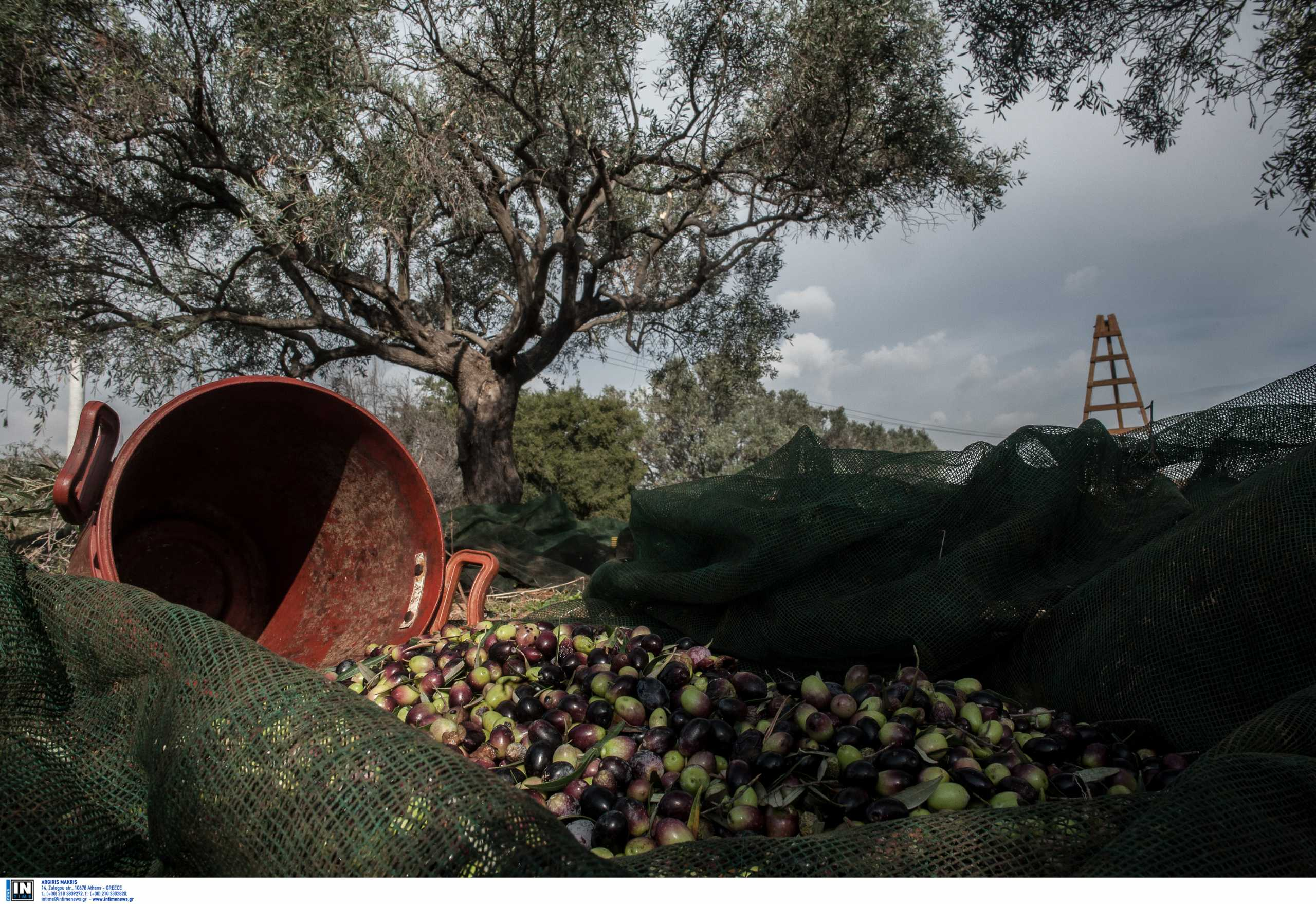 Έστησαν κομπίνα με 12.531 κιλά λάδι «Καλαμάτας»