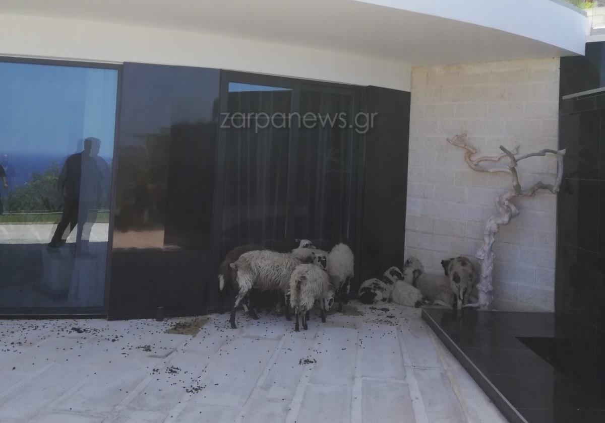 Χανιά: Πρόβατα εισέβαλαν σε νοικιασμένη πολυτελή βίλα και άφησαν και «δώρα» (pics)