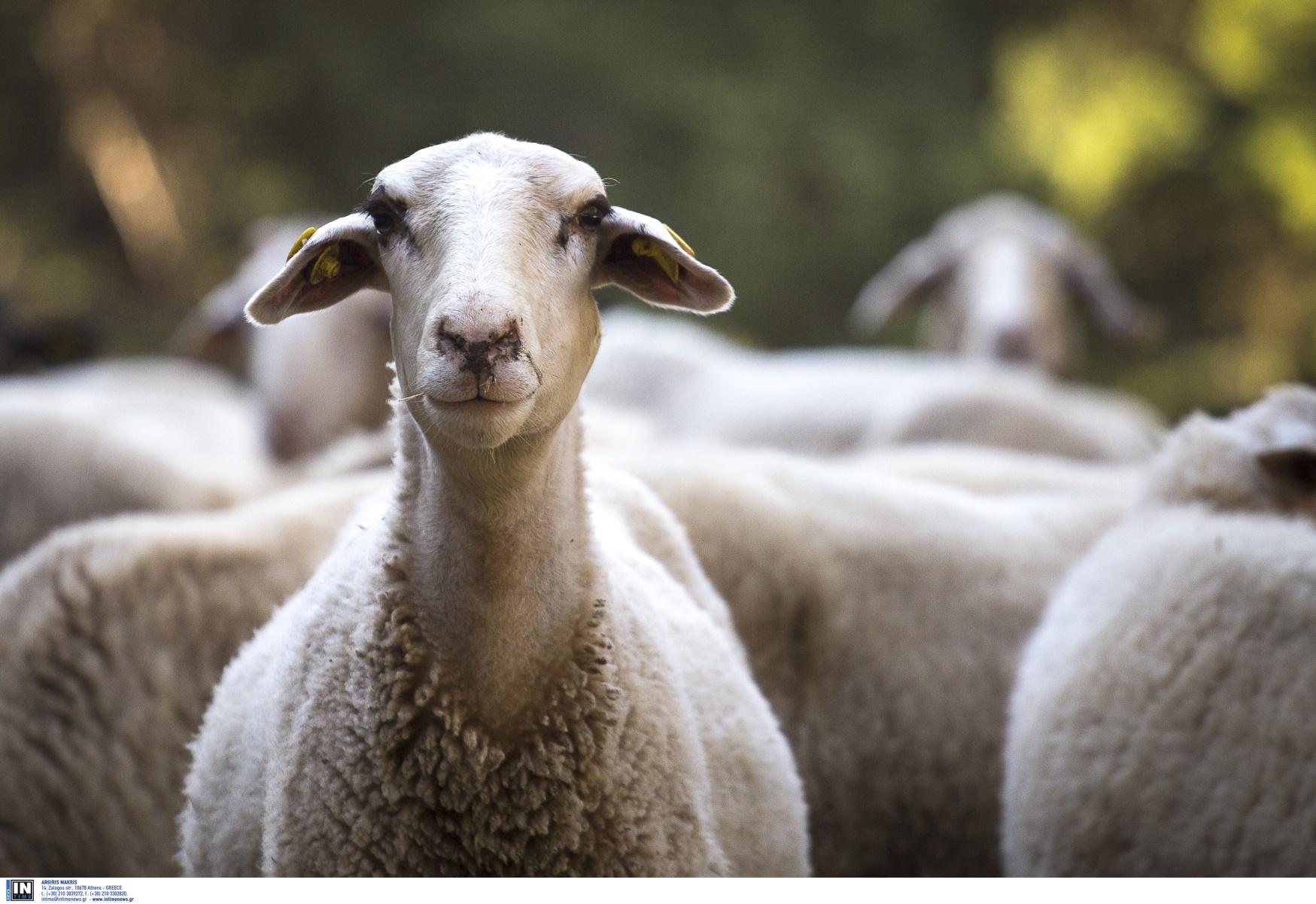 Κρήτη: Μαλλιοτραβήγματα, μαγκουριές και συλλήψεις για ένα πρόβατο