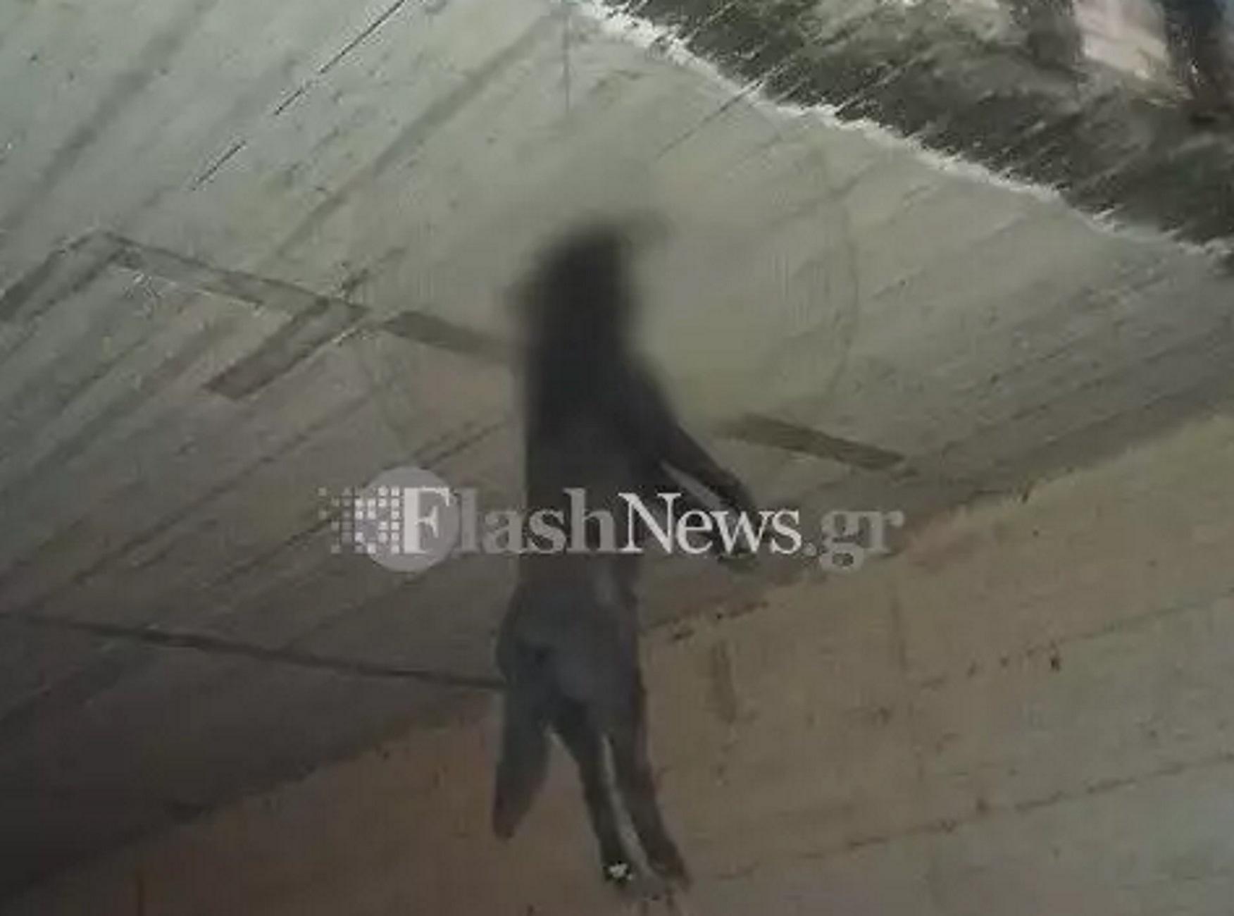 Χανιά: Οι κάμερες έλυσαν το γρίφο της αδιανόητης κτηνωδίας – Ποιος κρέμασε τον σκύλο σε γέφυρα (video)