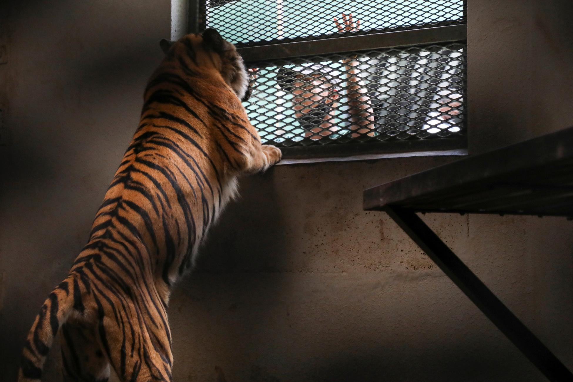 Ένας τίγρης περιπλανιέται στους δρόμους του Χιούστον