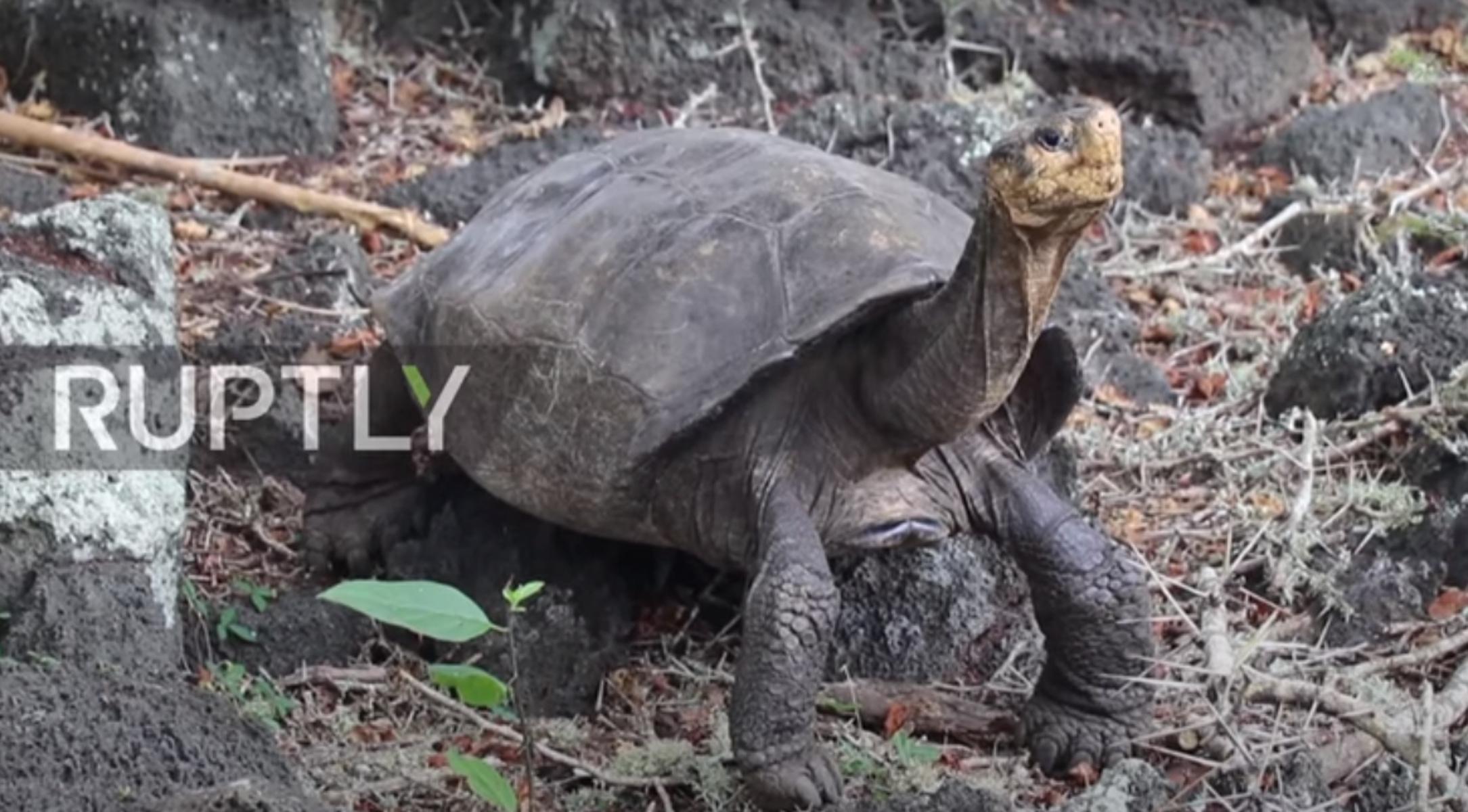 Ισημερινός: «Εξαφανισμένη» γιγαντιαία χελώνα επανεμφανίστηκε μετά από 100 χρόνια
