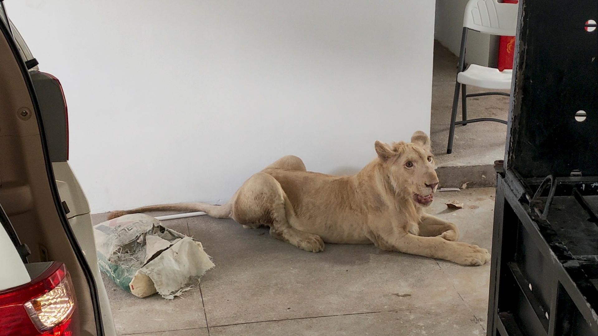 Είχε στο σπίτι του λιοντάρι σαν… κατοικίδιο και το ανέβαζε στο TikTok – Επιχείρηση στην Καμπότζη για τη διάσωσή του