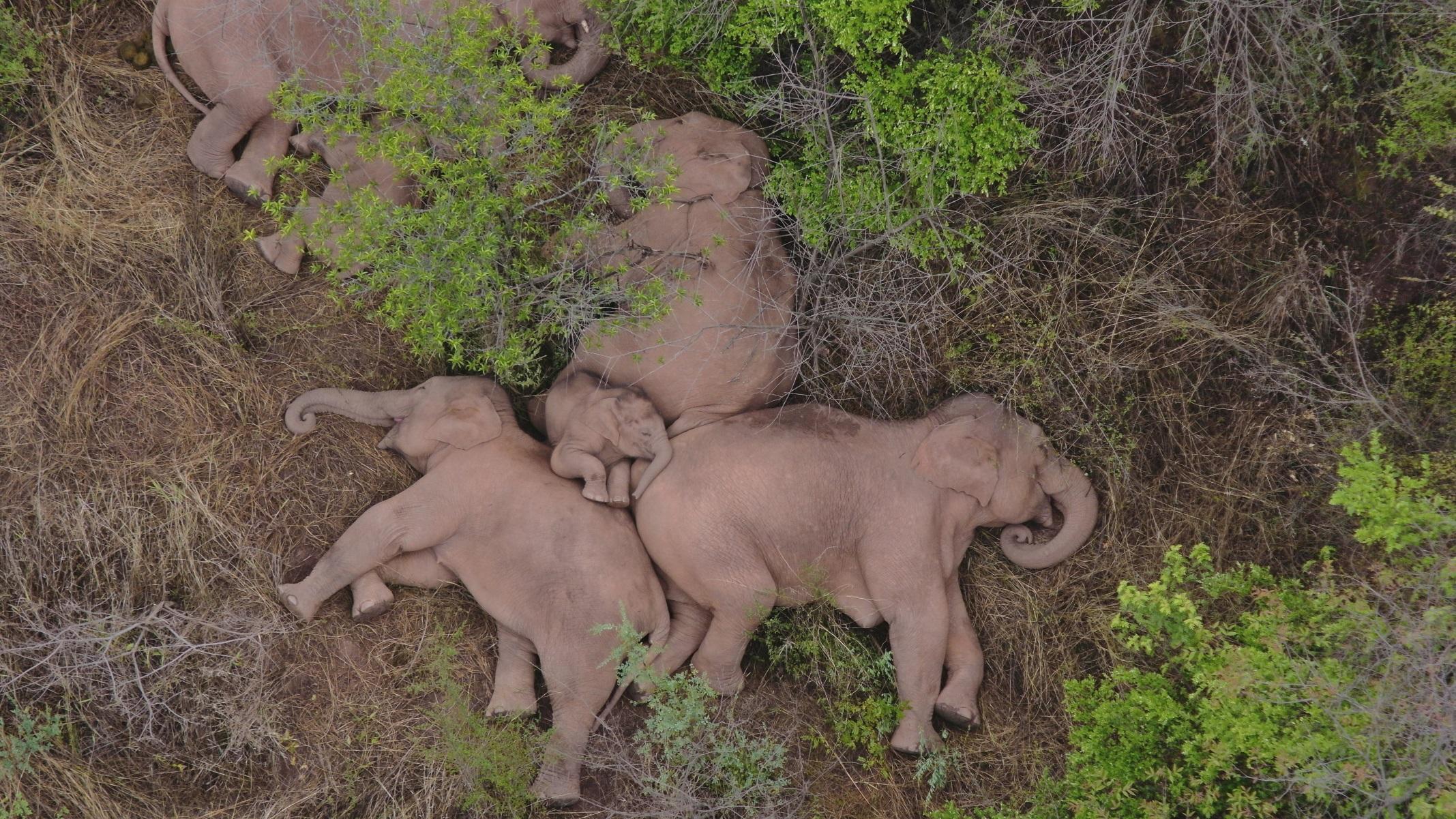 Κίνα: Οι viral «ξάπλες» των ελεφάντων – Συνεχίζεται η περιπλάνηση του τεράστιου κοπαδιού (pics, vid)