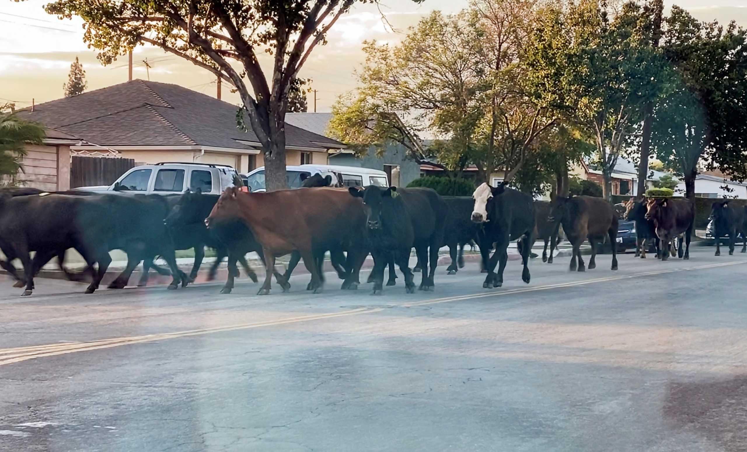 Λος Άντζελες: Βρέθηκε και η τελευταία αγελάδα από τις 40 που το έσκασαν από σφαγείο (pics,video)