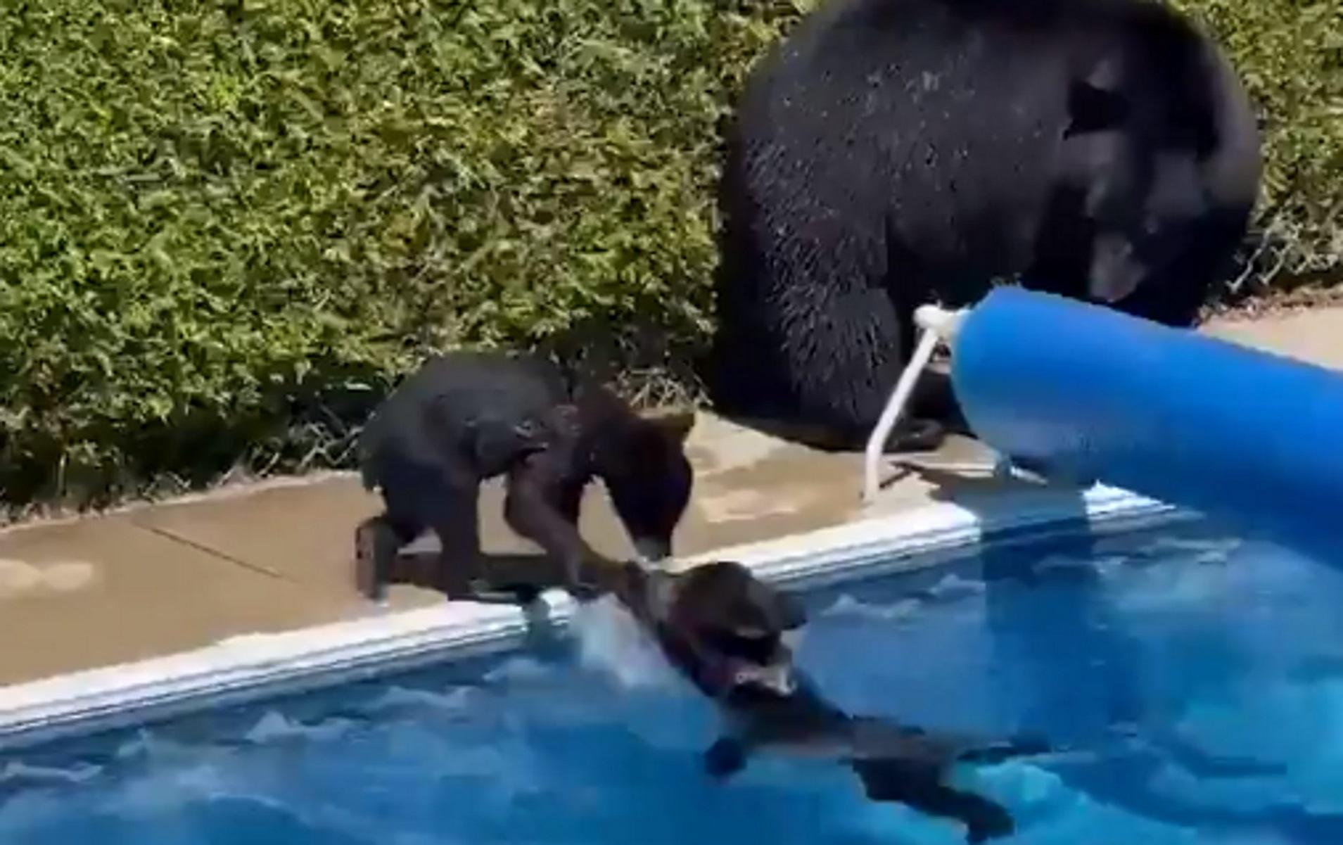 Ο καύσωνας «έστειλε» οικογένεια αρκούδων για βουτιές σε πισίνα