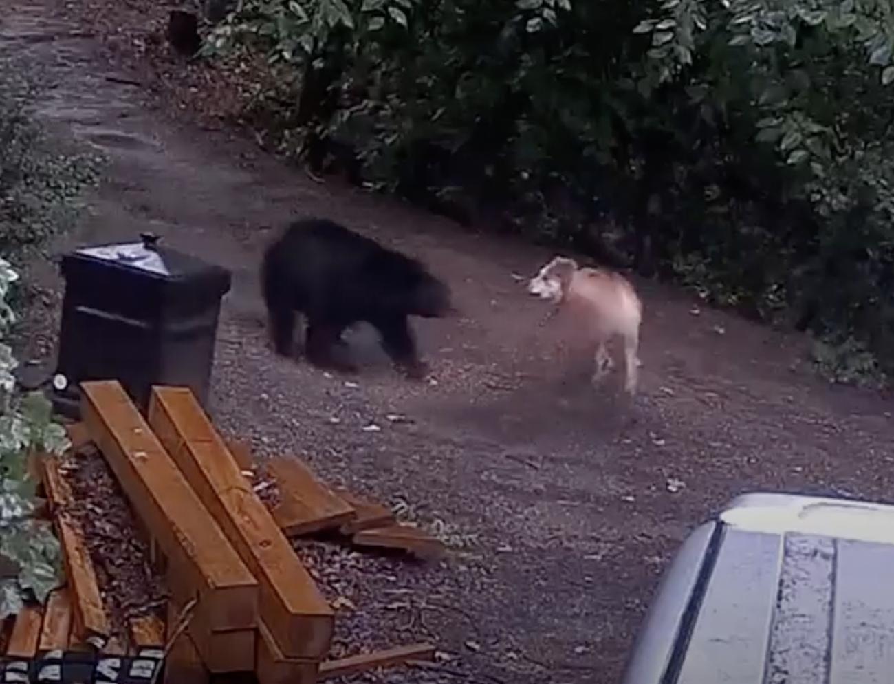 Η στιγμή που αρκούδα επιτίθεται σε σκύλο για να σώσει τα μικρά της