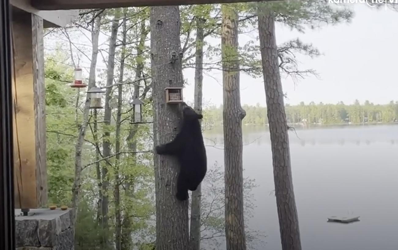 Άτακτη αρκούδα «βουτάει» ταΐστρα πουλιών