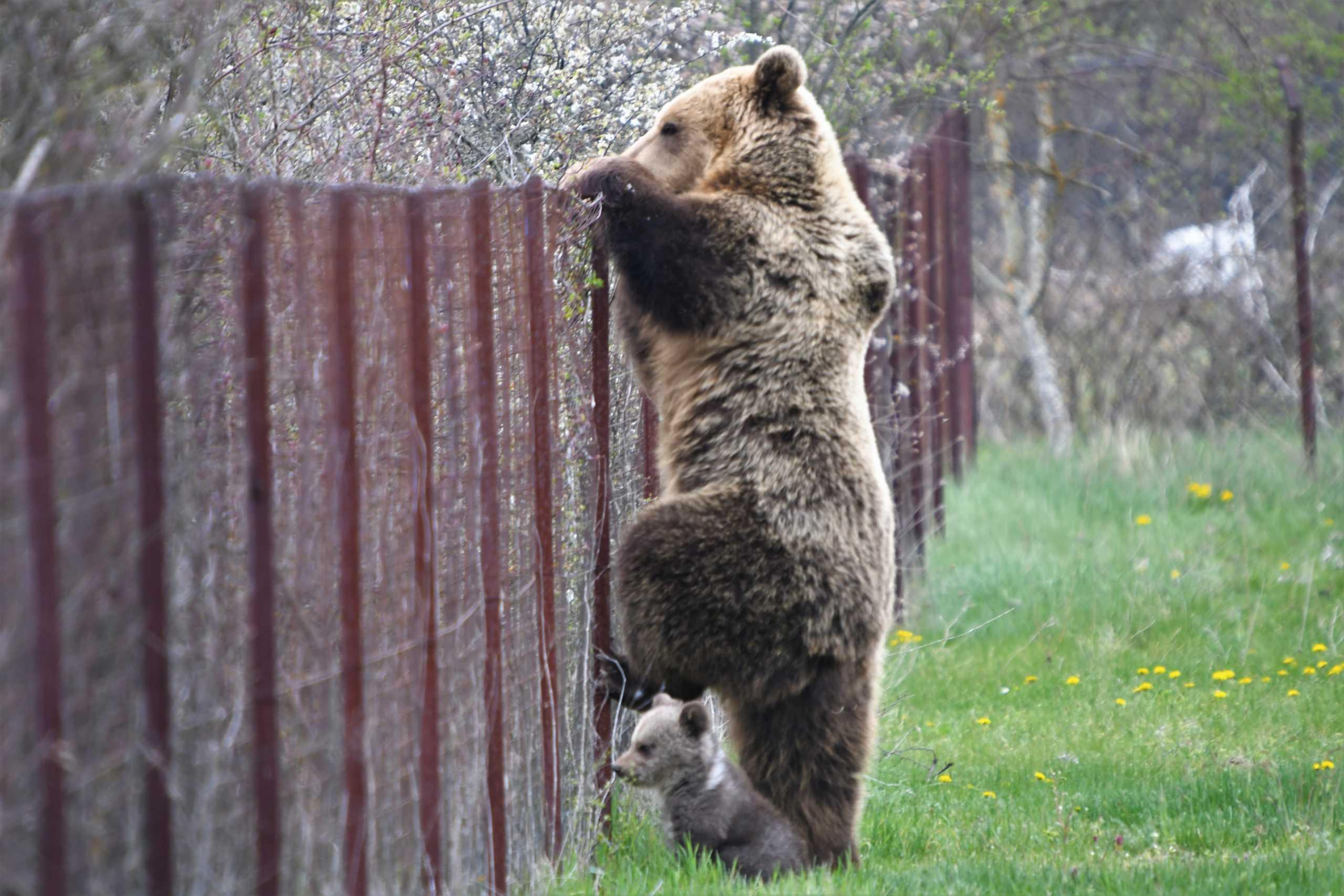 Αρκούδα πιάστηκε στα πράσα να «κλέβει» κεράσια μαζί με το μικρό της
