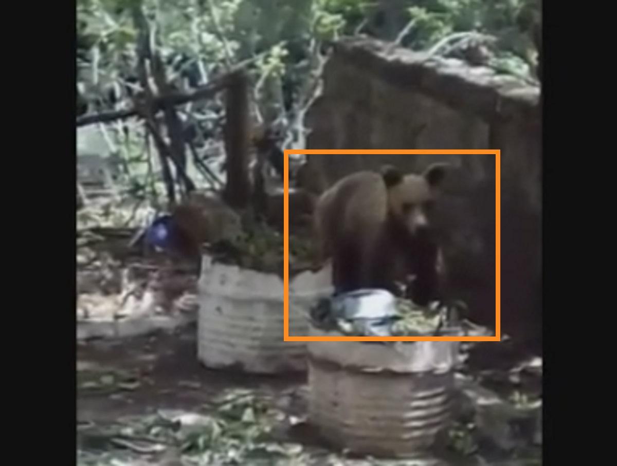 Κοζάνη: Αρκούδα μπήκε σε αυλή για να φάει κεράσια (video)