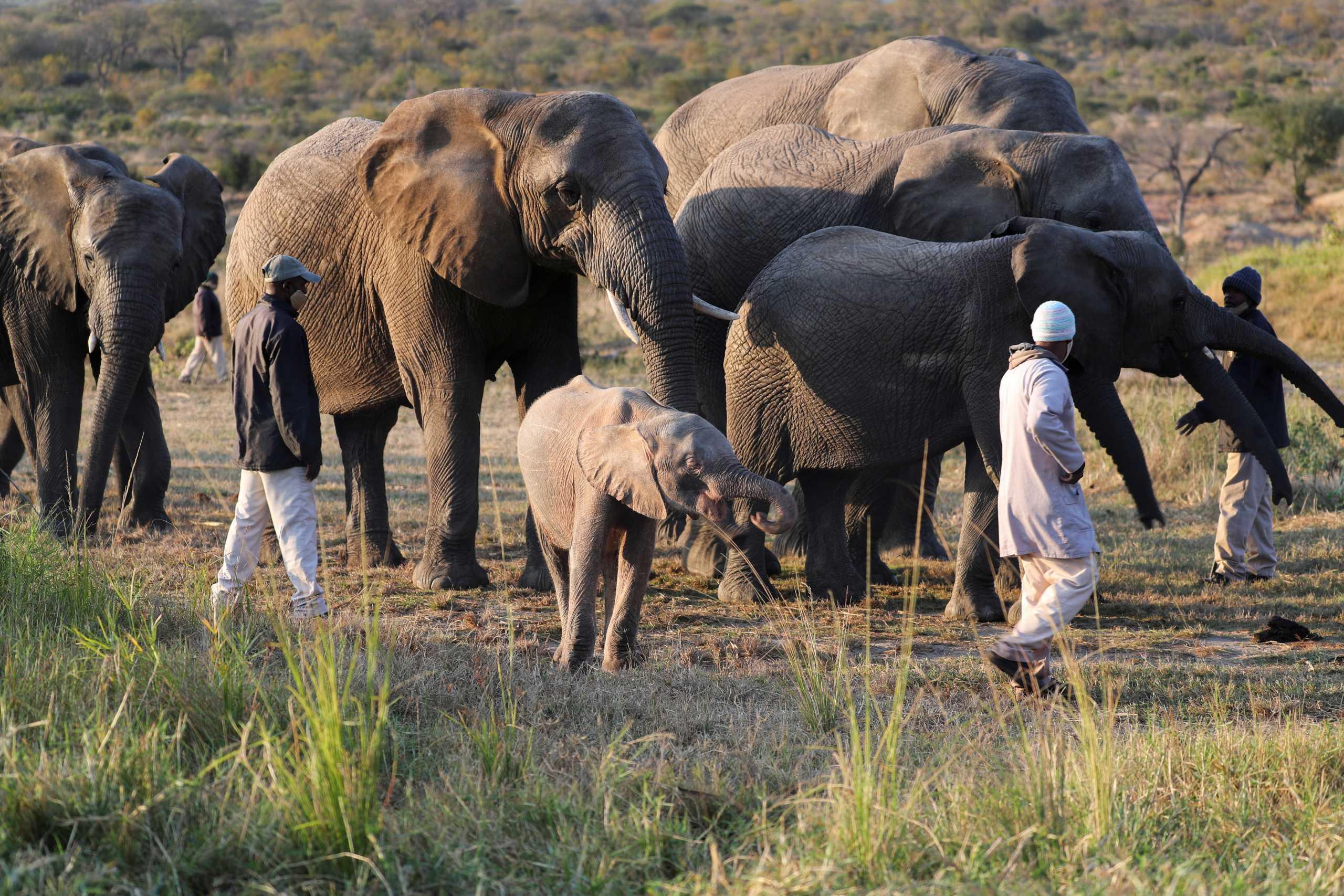 Εκδρομή – εφιάλτης για κοπάδι ελεφάντων στην Κίνα – Από που ξεκίνησαν