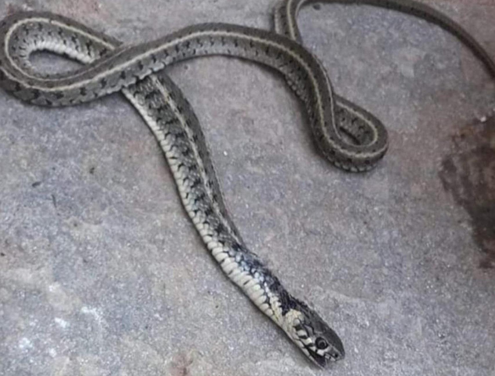 Σέρρες: Αυτό το φίδι στον καναπέ του σπιτιού της – Οι φωνές ξεσήκωσαν ένα ολόκληρο οικοδομικό τετράγωνο