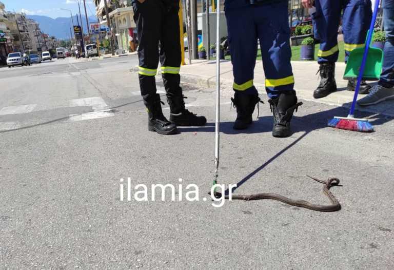 Φίδι κόβει βόλτες στο κέντρο της Λαμίας - Περαστικοί κόντεψαν να πάθουν συγκοπή στη θέα του ερπετού (pics)