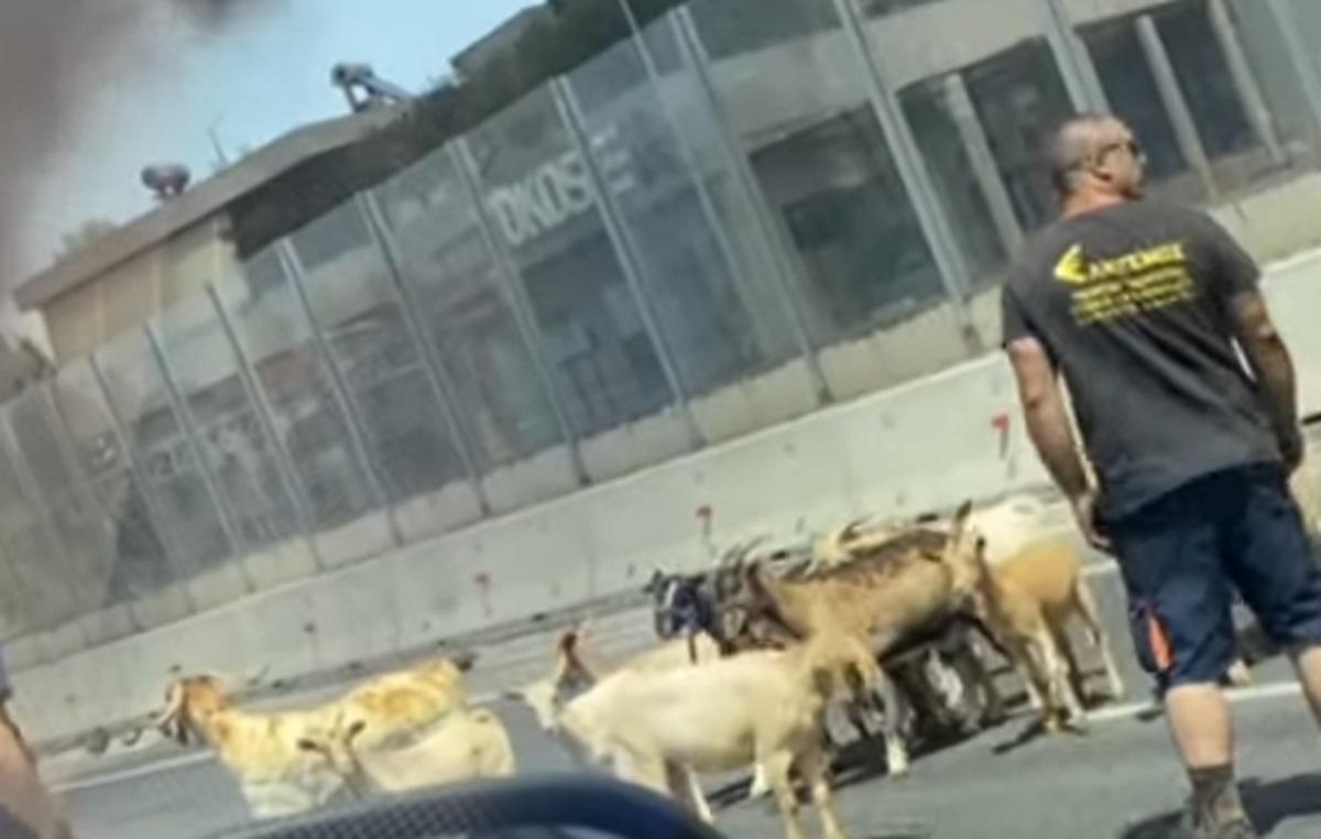 Γέμισε με κατσίκες και κότες η Αθηνών – Λαμίας μετά τη φωτιά στο φορτηγό (video)