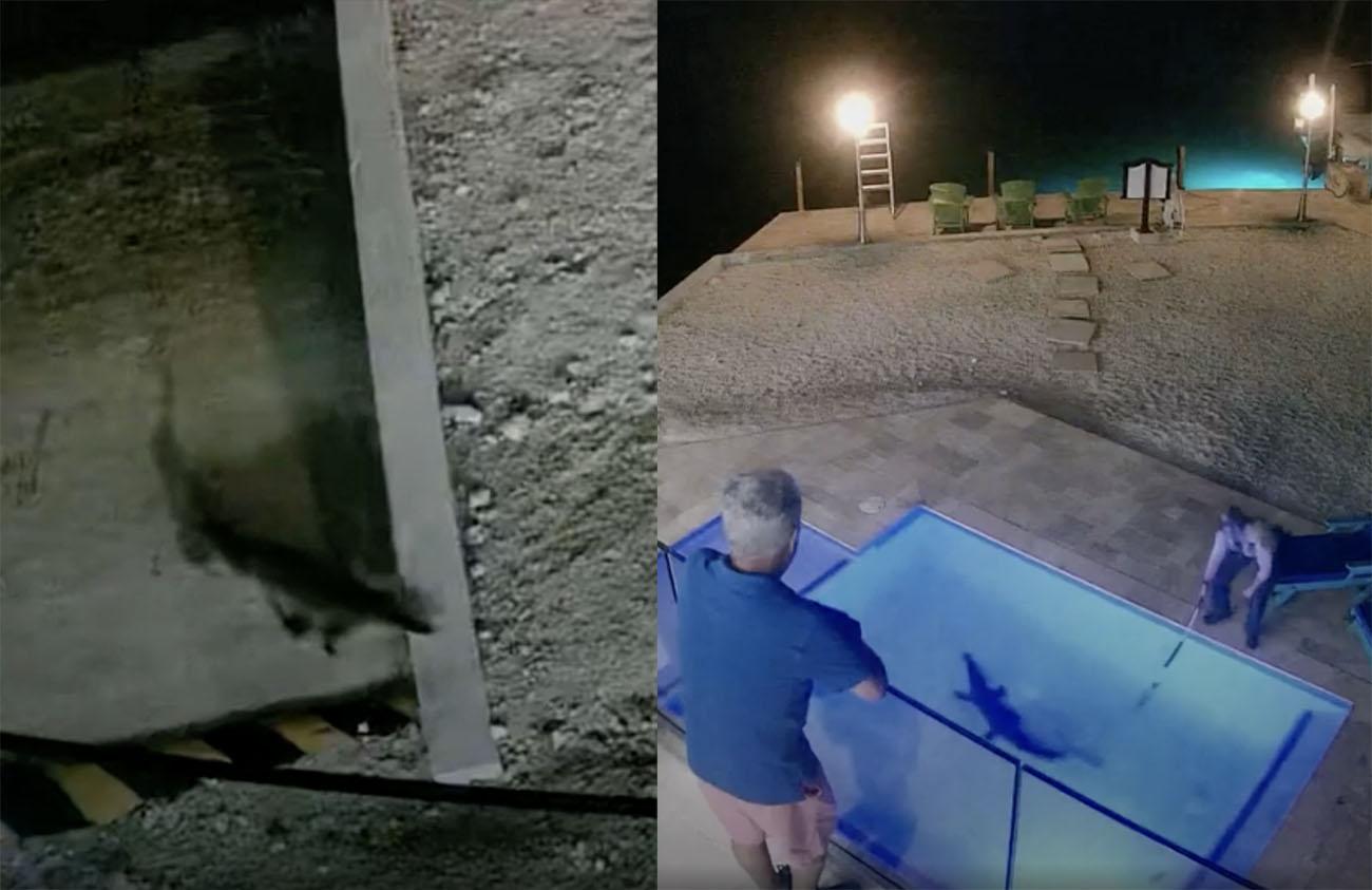 Βρήκαν έναν κροκόδειλο στην πισίνα του σπιτιού τους
