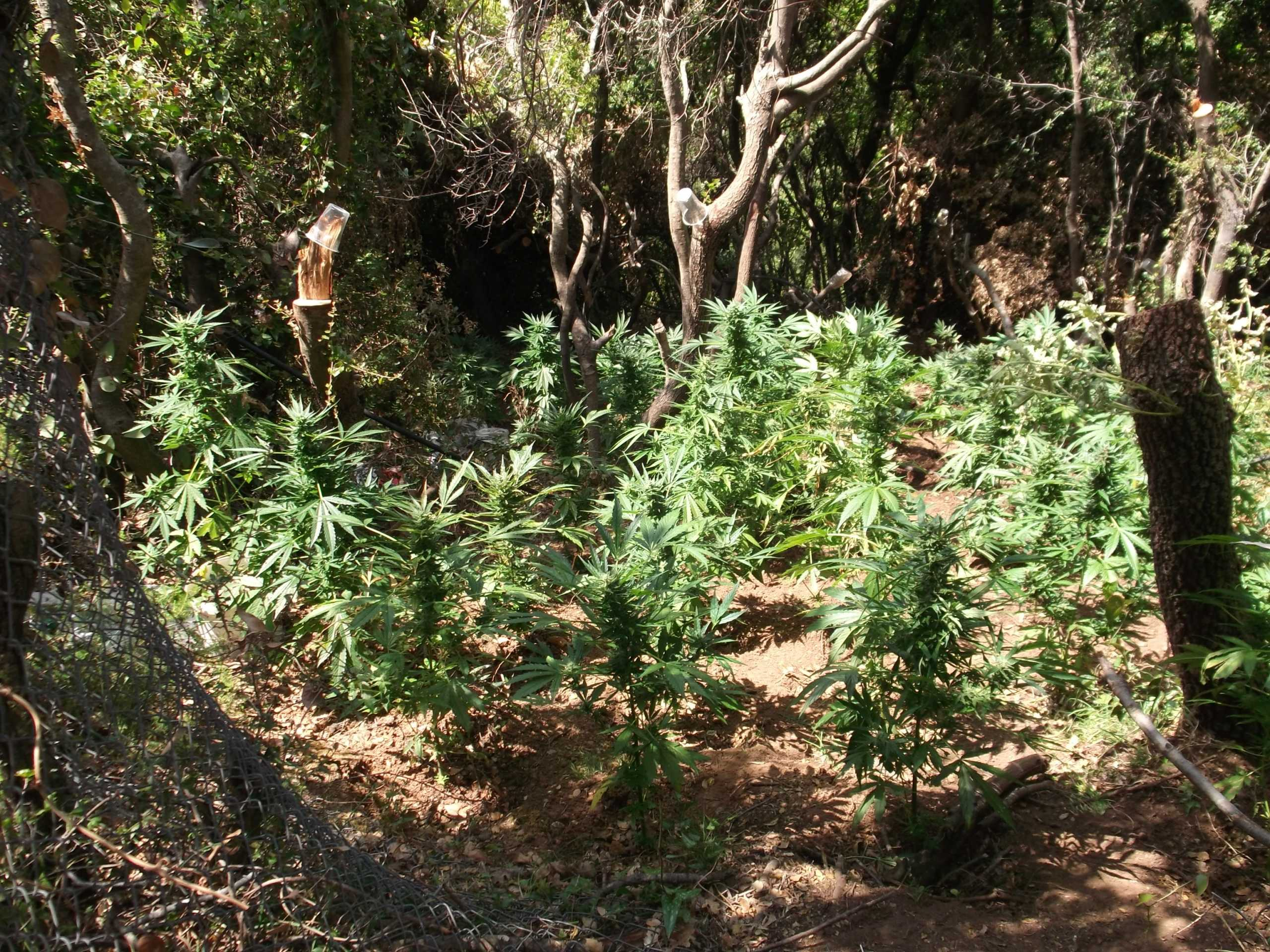 Ρέθυμνο: Φυτεία με 157 δενδρύλλια χασίς στο Μυλοπόταμο – Μια σύλληψη