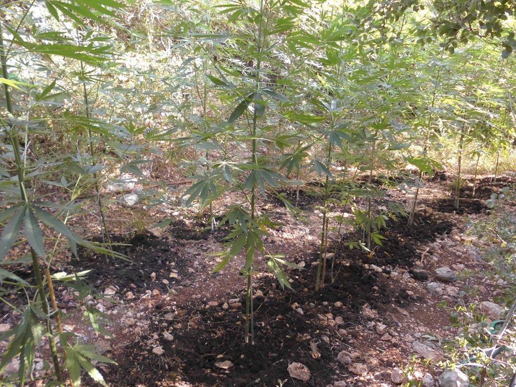 Ρέθυμνο: Τα βήματα τους έφεραν μπροστά σε αυτές τις φυτείες – Οι εικόνες με τα χασισόδεντρα