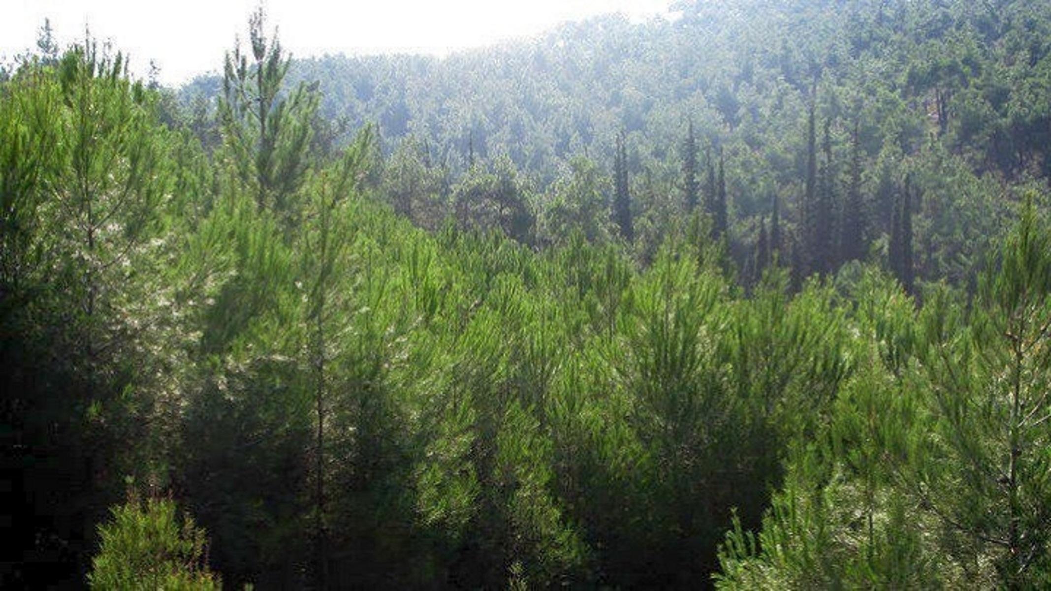 Σέιχ Σου: Κόβονται τα «άρρωστα» δέντρα που τσίμπησε το φλοιοφάγο έντομο