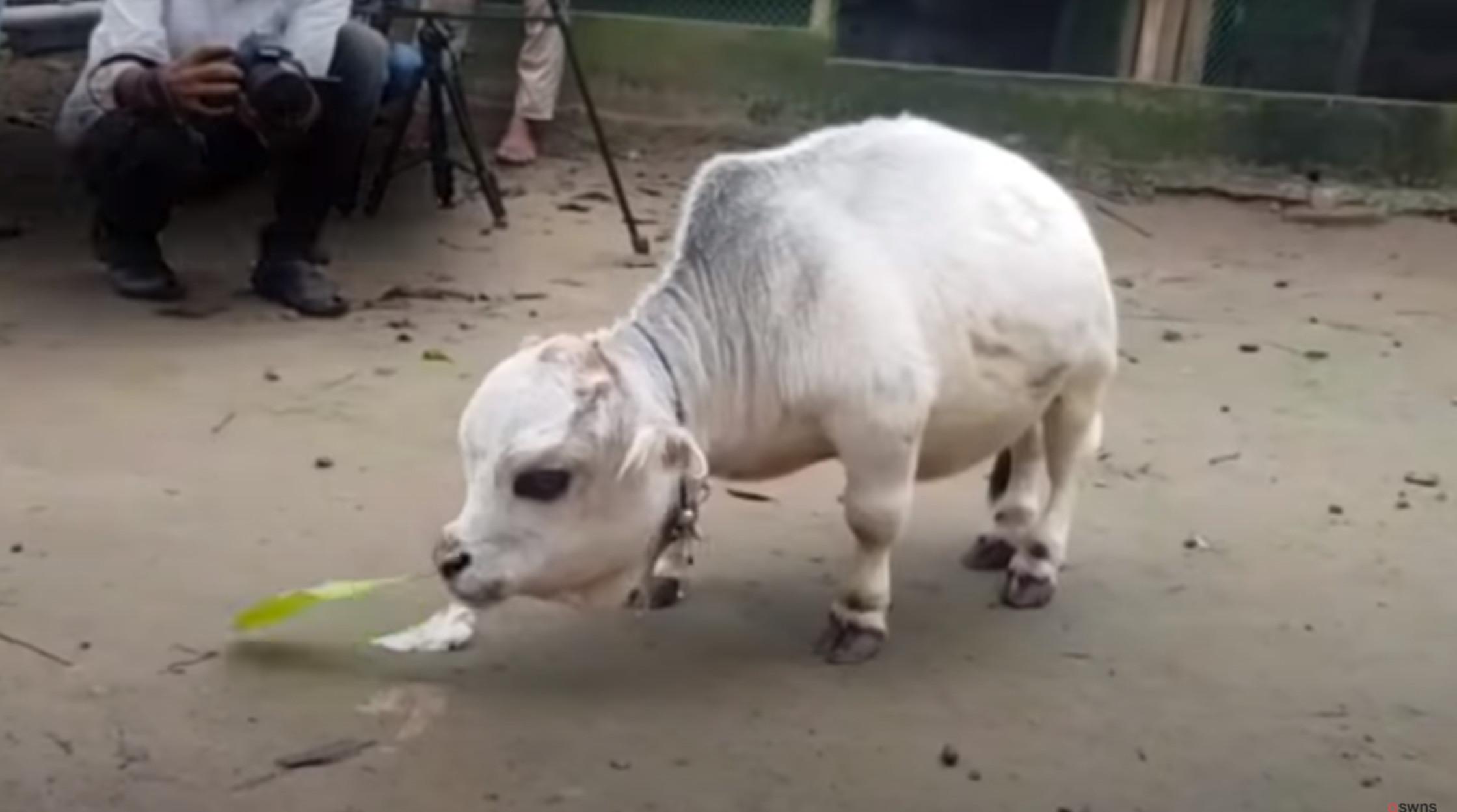 Αγελάδα μεγέθους… 51 εκατοστών!