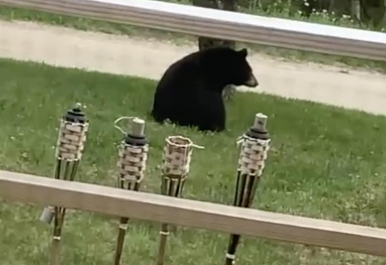 """Η γάτα – """"τίγρης"""" που έγινε ο χειρότερος εφιάλτης μιας γιγάντιας αρκούδας"""