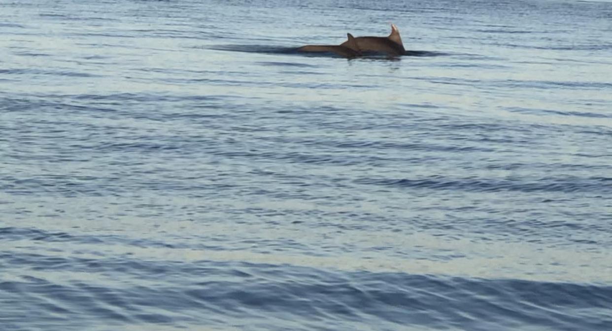 Θεσσαλονίκη: Πανέμορφες εικόνες στο Θερμαϊκό με δελφίνια να παίζουν τα ξημερώματα στη θάλασσα