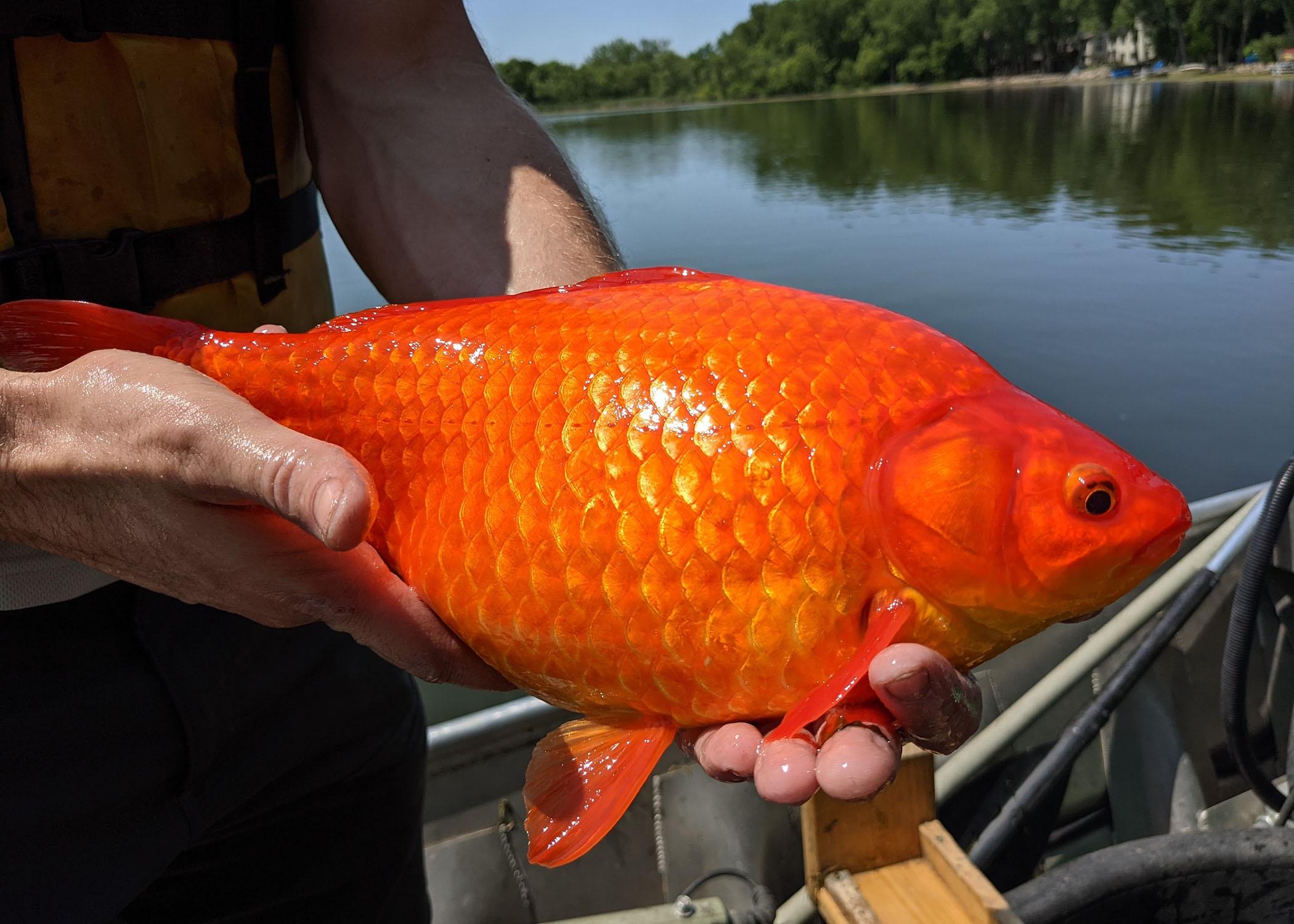 Χρυσόψαρα σε μέγεθος… τσιπούρας στις ΗΠΑ – Μην τα πετάτε στις λίμνες λένε οι αρχές