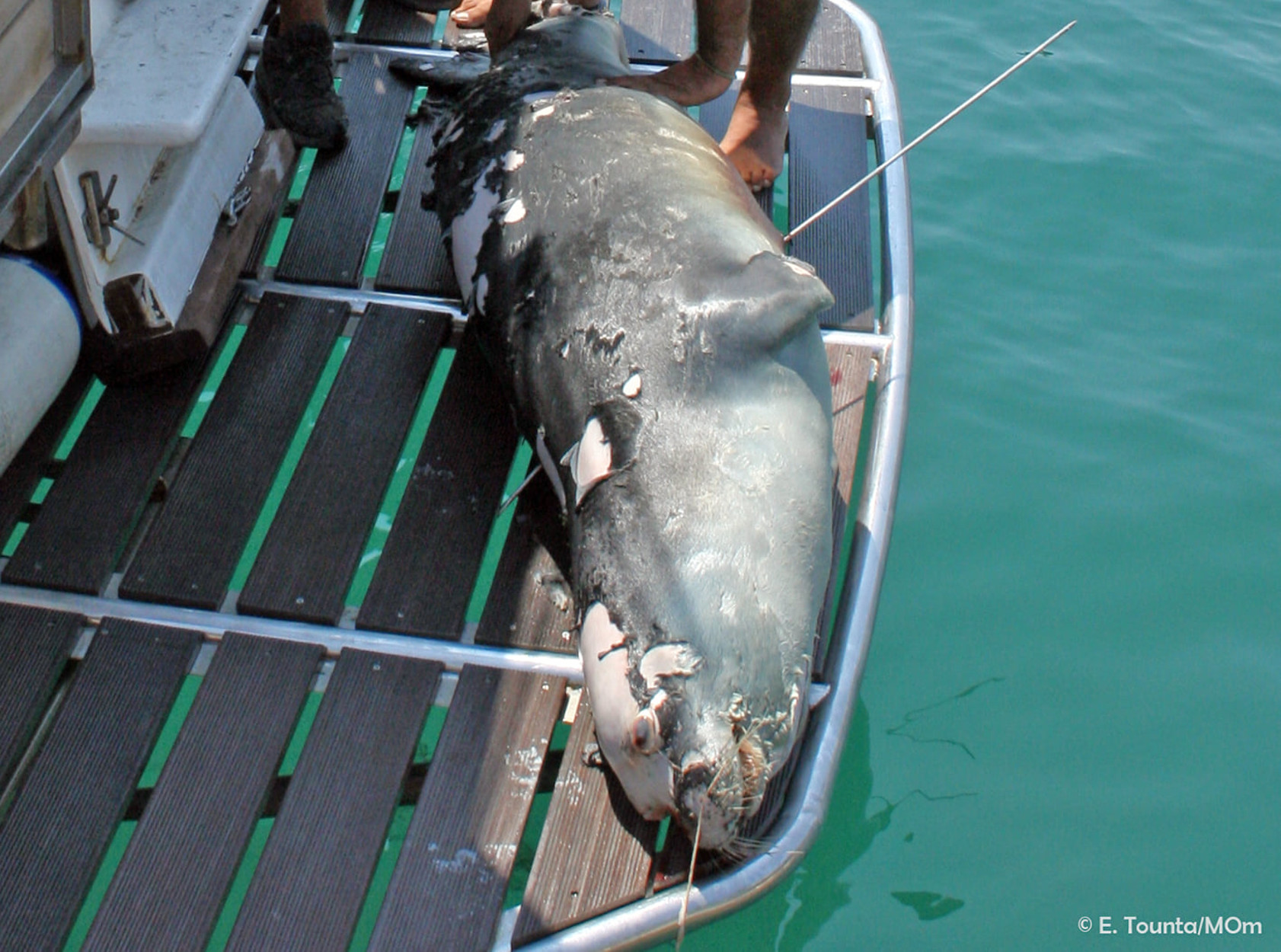 Αλόννησος: Νεκρός ο Κωστής, η φώκια – ατραξιόν του νησιού – Τον σκότωσε ψαροτουφεκάς