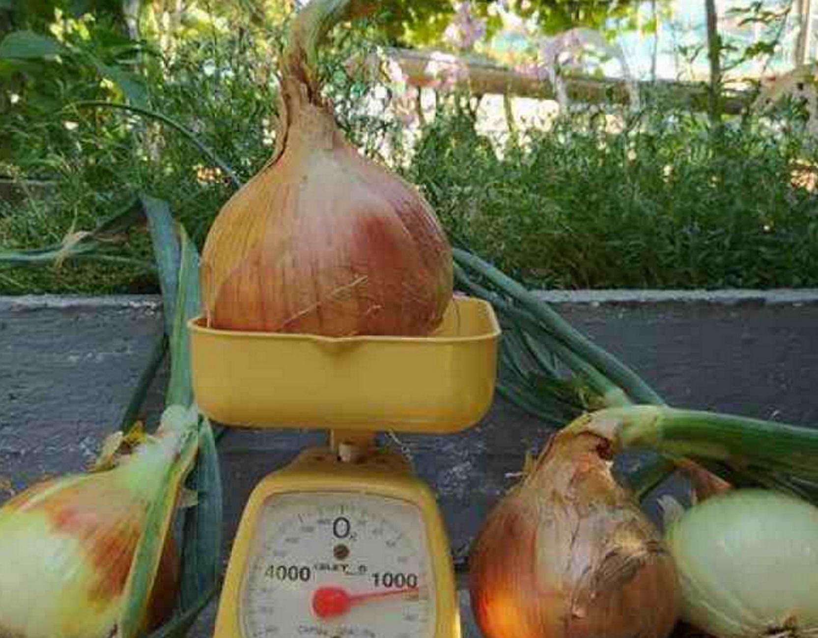 Σέρρες: Πήγε στον κήπο του και είδε να έχουν φυτρώσει κρεμμύδια για… το βιβλίο με τα ρεκόρ Γκίνες
