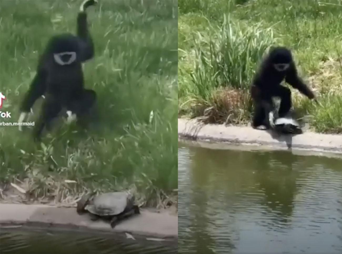 Η μαϊμού που σπάει πλάκα με… αθώες χελώνες