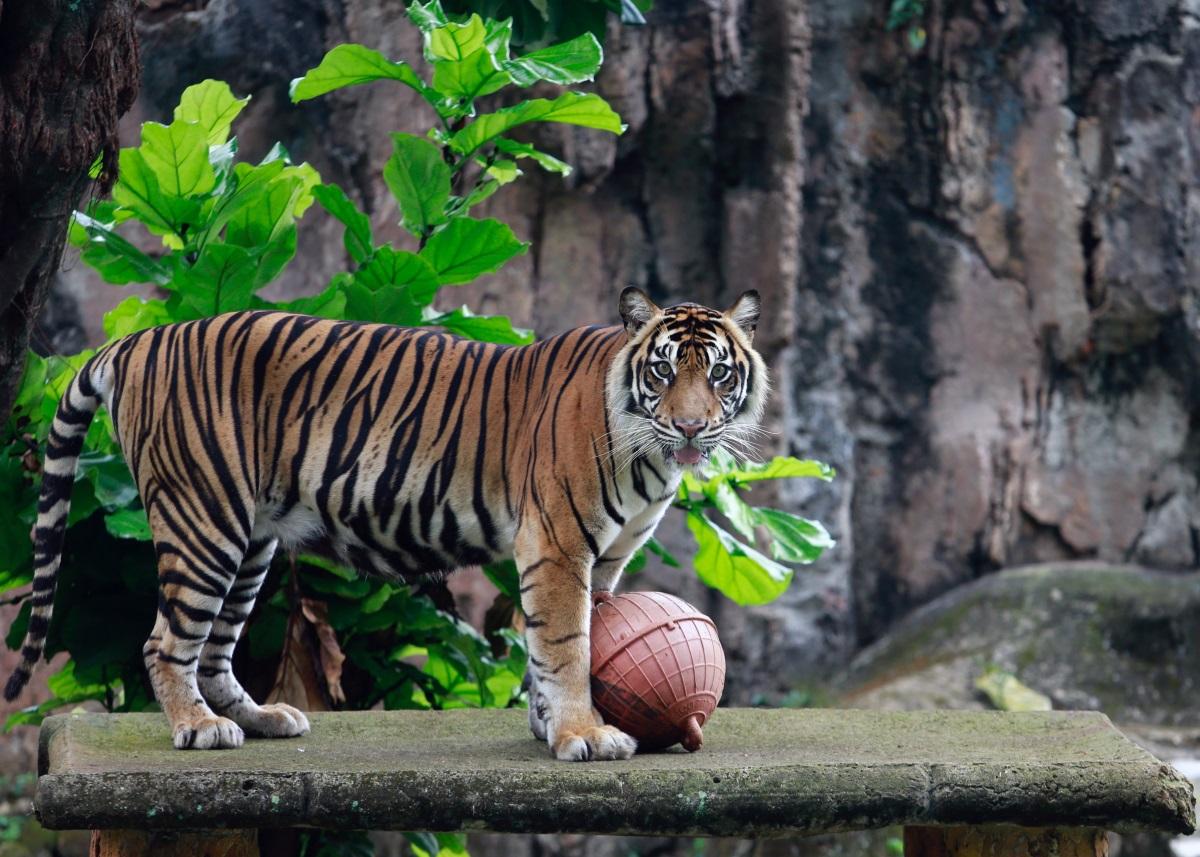 INDONESIA TIGERS