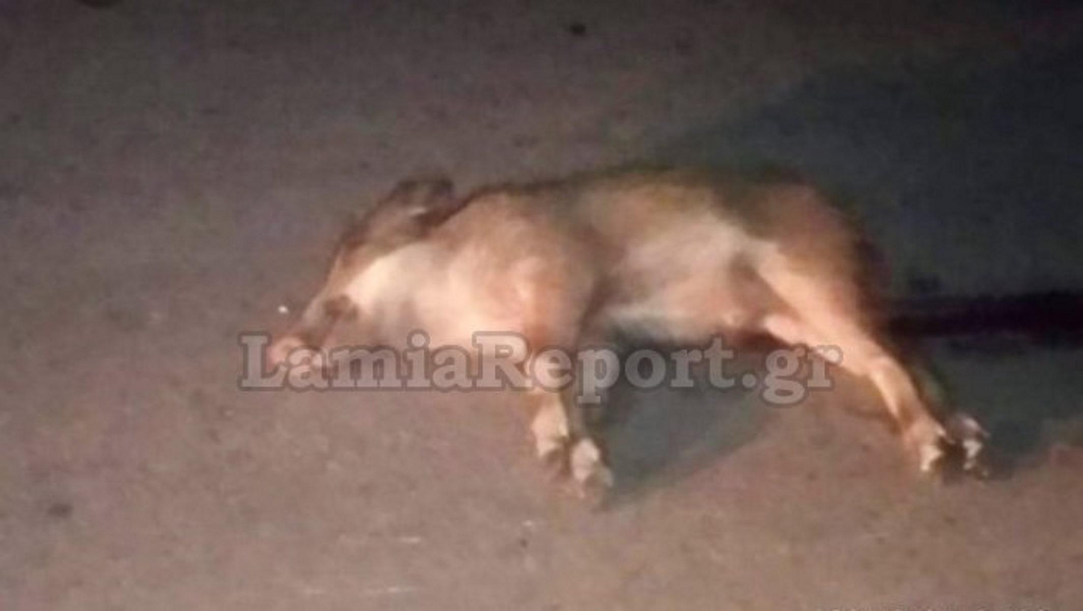 Λοκρίδα: Κι άλλο αγριογούρουνο νεκρό σε τροχαίο – Ολόκληρο κοπάδι πετάχτηκε στον δρόμο