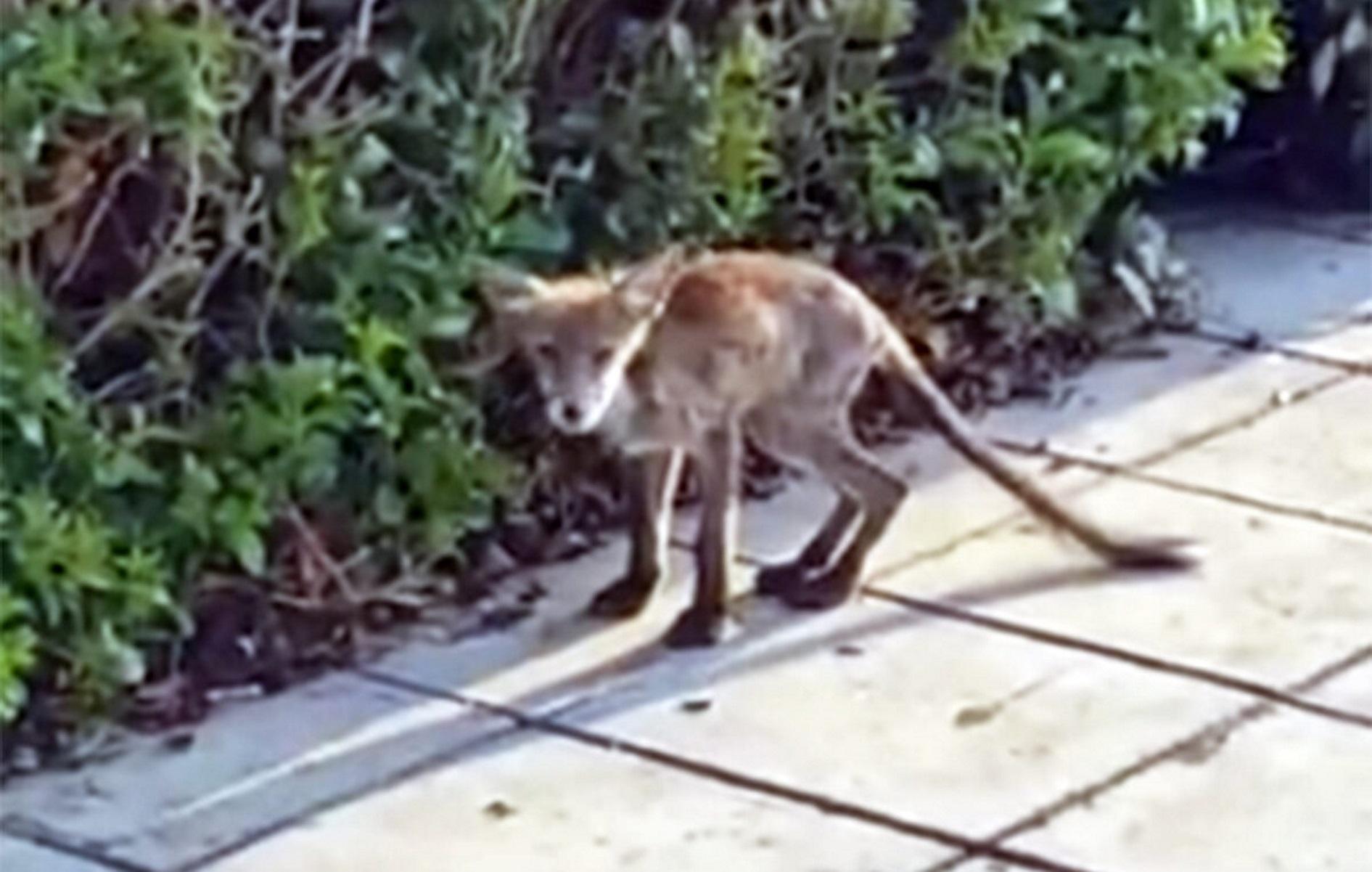 Καβάλα: Αλεπού κόβει βόλτες στο κέντρο της πόλης – Φαίνεται υποσιτισμένη και τρομαγμένη