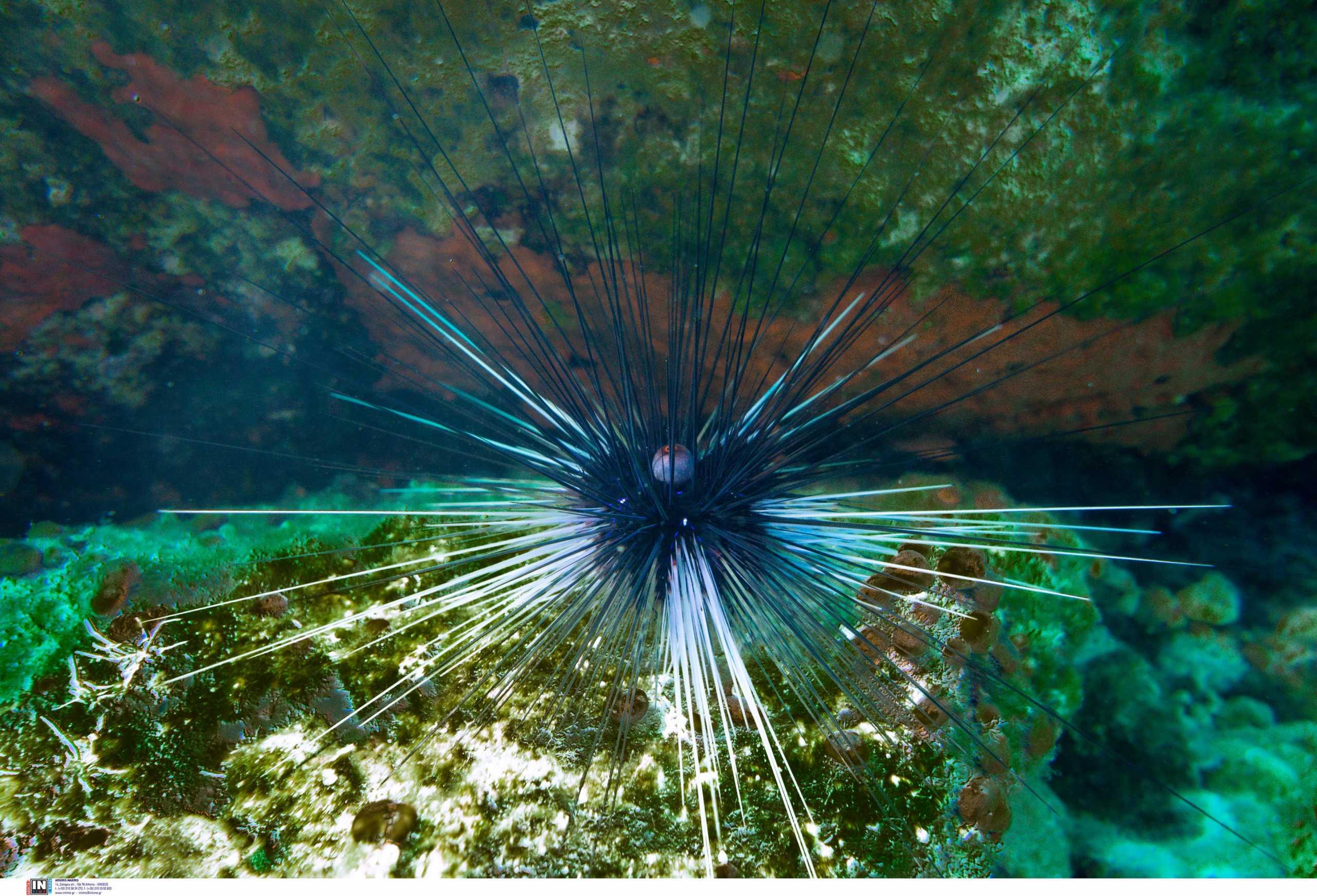Κυκλάδες: Αυτός είναι ο δηλητηριώδης αχινός που έφτασε από τον Ειρηνικό και αυξάνεται στις ελληνικές θάλασσες