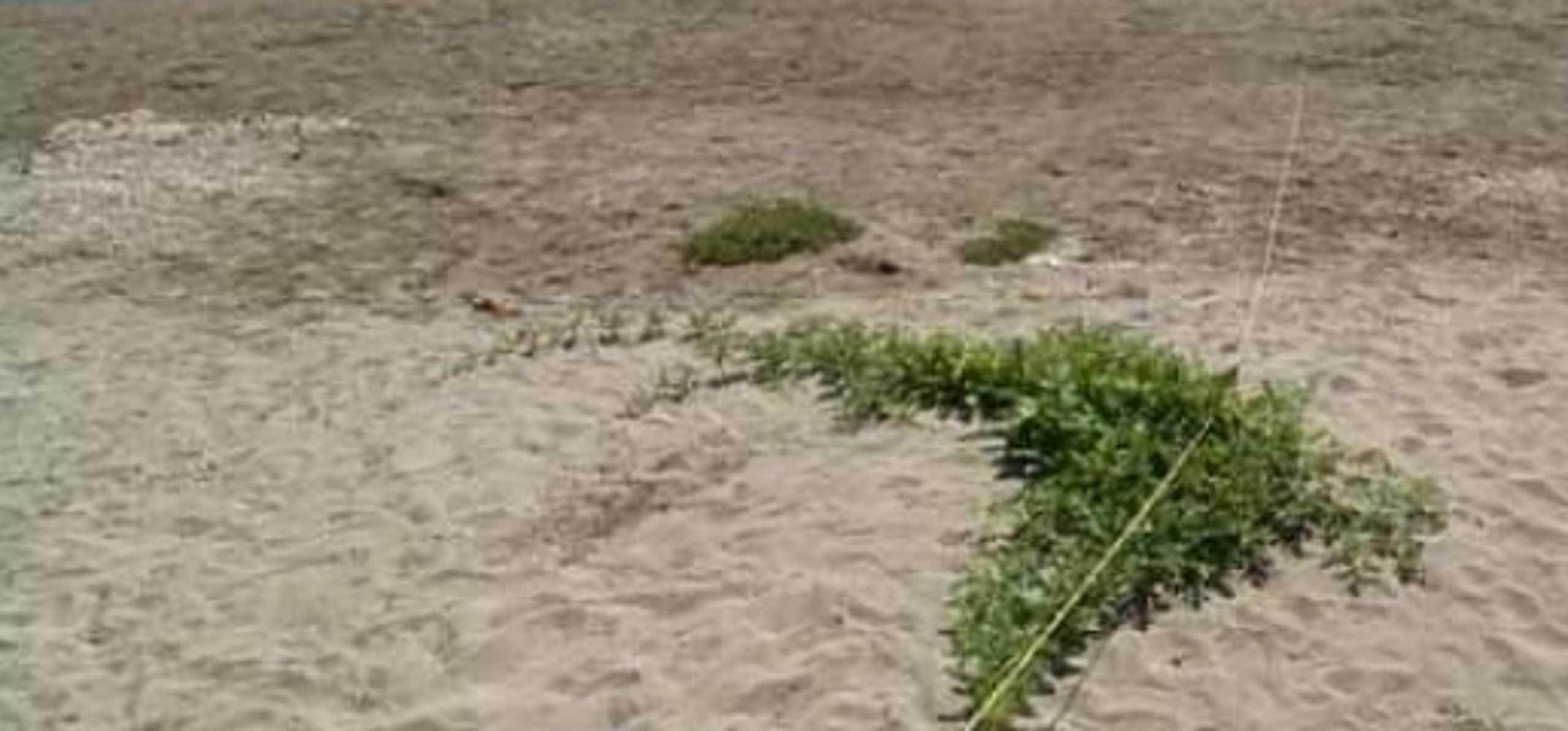 Κρήτη: Φύτρωσε καρπουζιά στην άμμο ελάχιστα μέτρα από τη θάλασσα