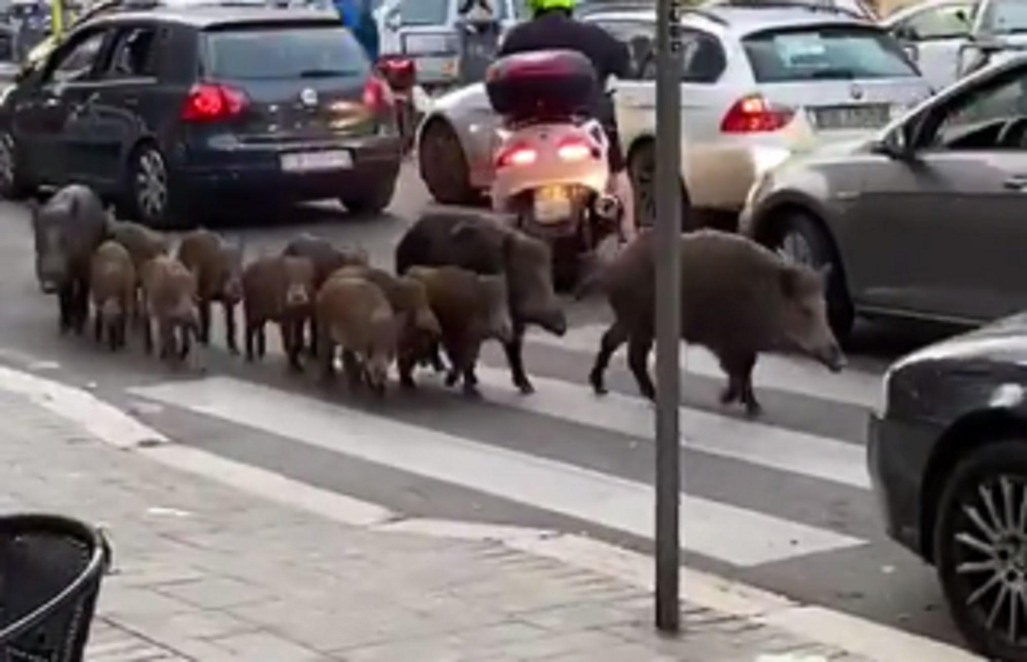 Ιταλία: 12 αγριογούρουνα έκαναν ανέμελα βόλτα στη Ρώμη
