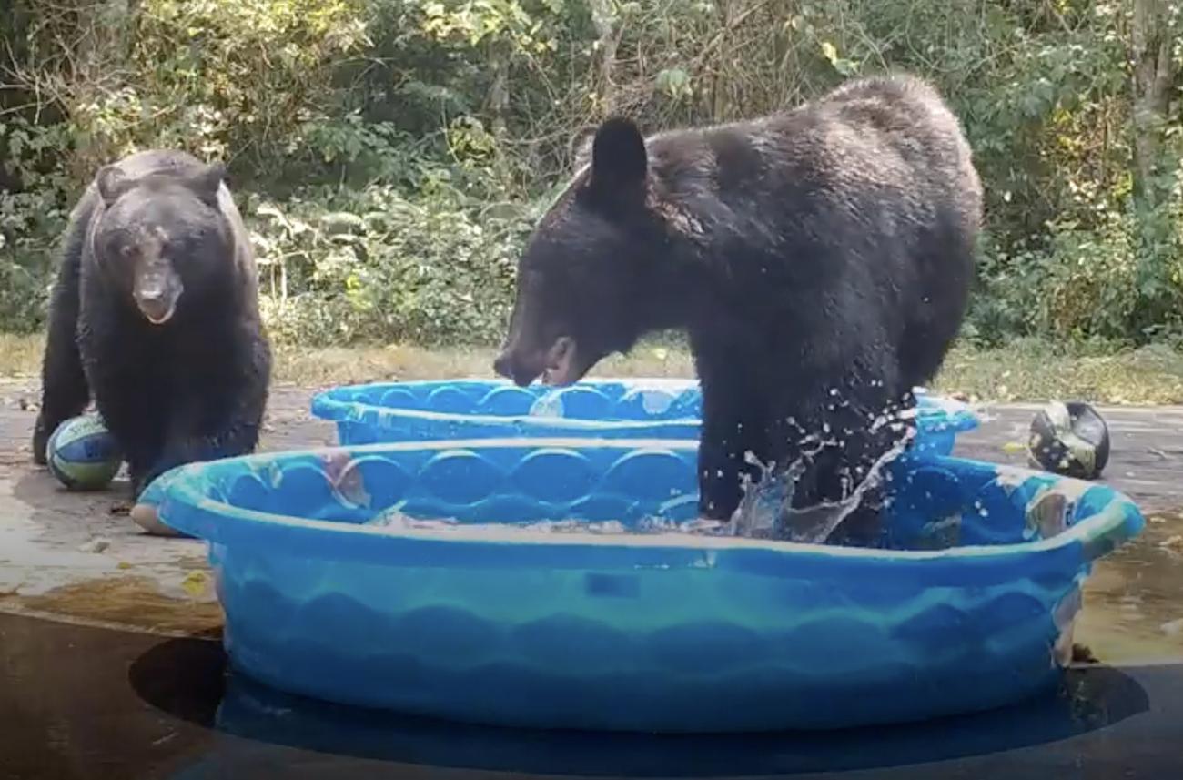 Ζωηρές αρκουδίτσες δροσίζονται σε «ιδιωτικές» πισίνες