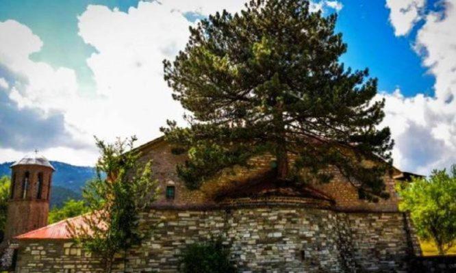 Υπεραιωνόβιο δέντρο φύτρωσε μέσα στο ιερό εκκλησίας