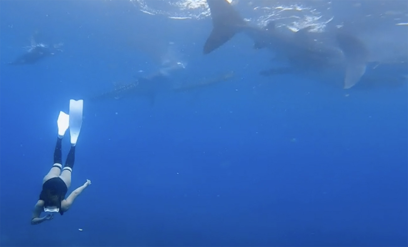 Δύτρια κολυμπά με κοπάδι φαλαινοκαρχαριών και «κόβει» την ανάσα