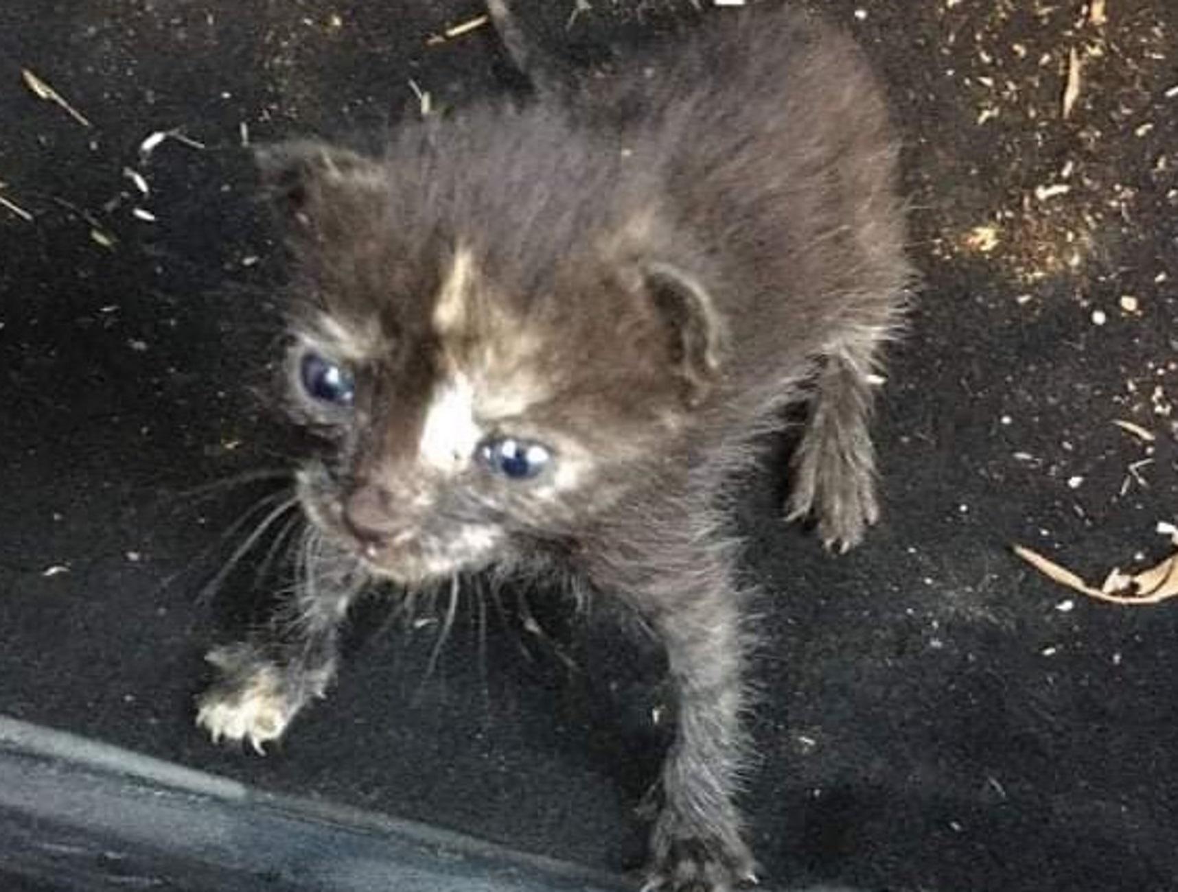 Μεσολόγγι: Δείτε πως είναι σήμερα αυτό το επτάψυχο γατάκι που βγήκε ζωντανό από την κόλαση της φωτιάς